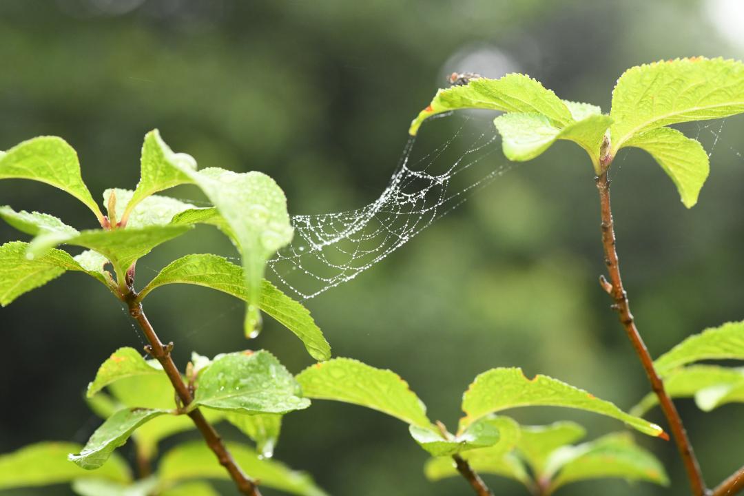 水の滴る蜘蛛の巣2