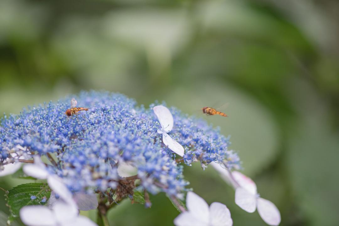 あじさいとハチのようなハエのような、アブ