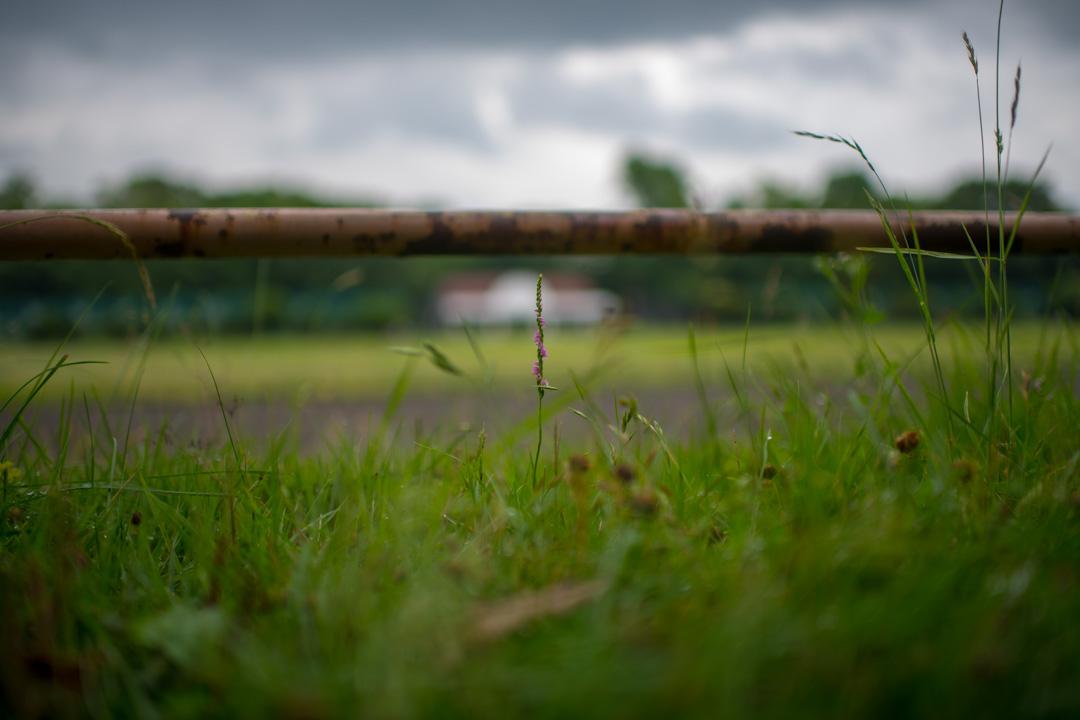 広角で撮影するネジバナ