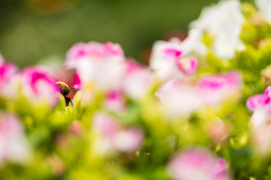 必死なクマバチ