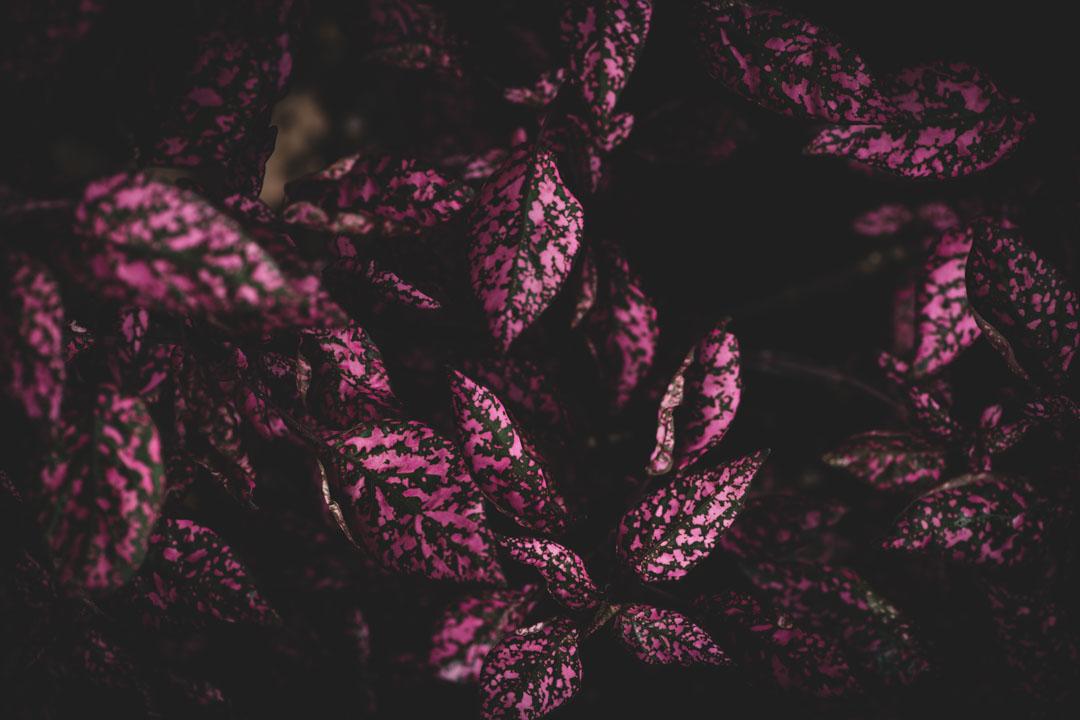 ピンクと緑の葉