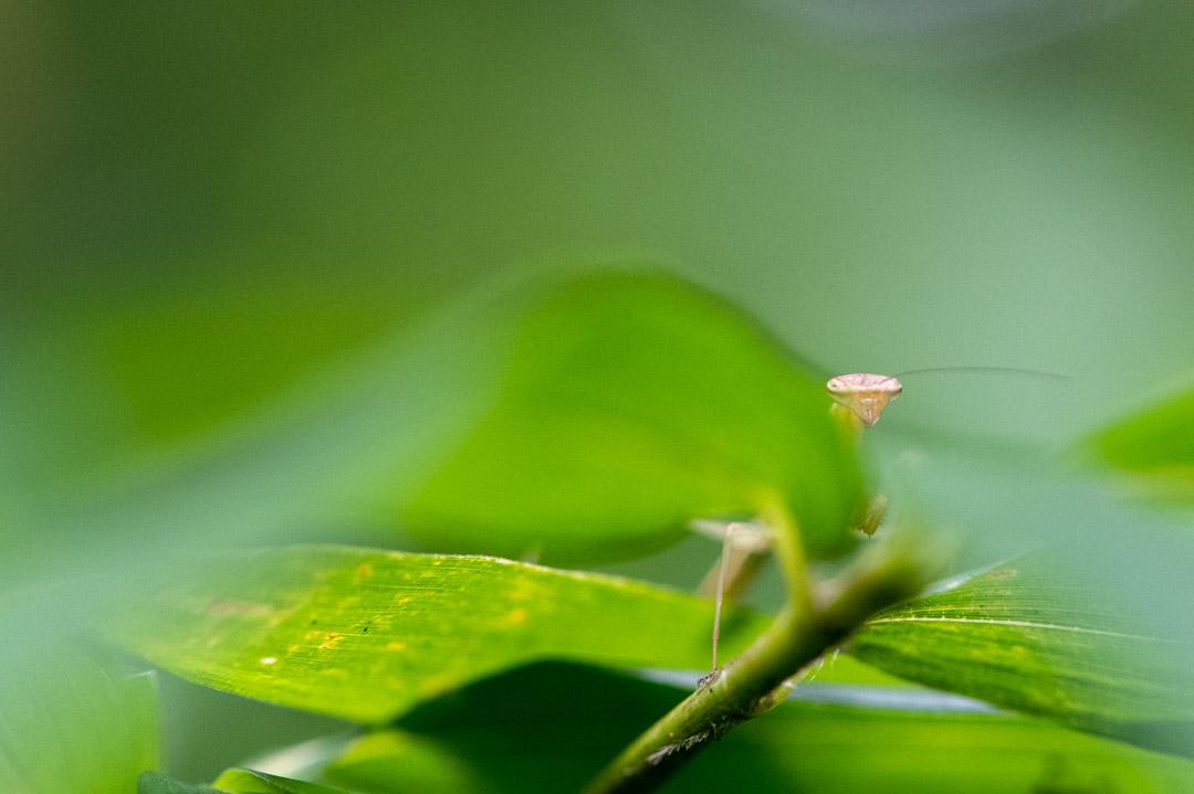 草の影から見つめてくるカマキリ