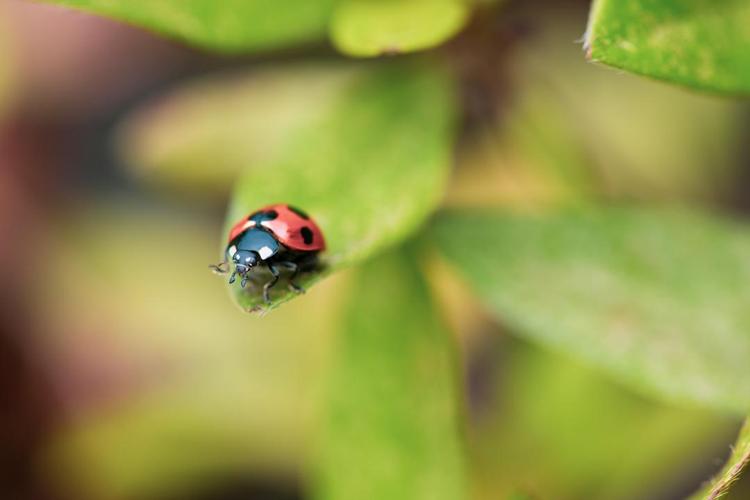 葉の上に乗るてんとう虫