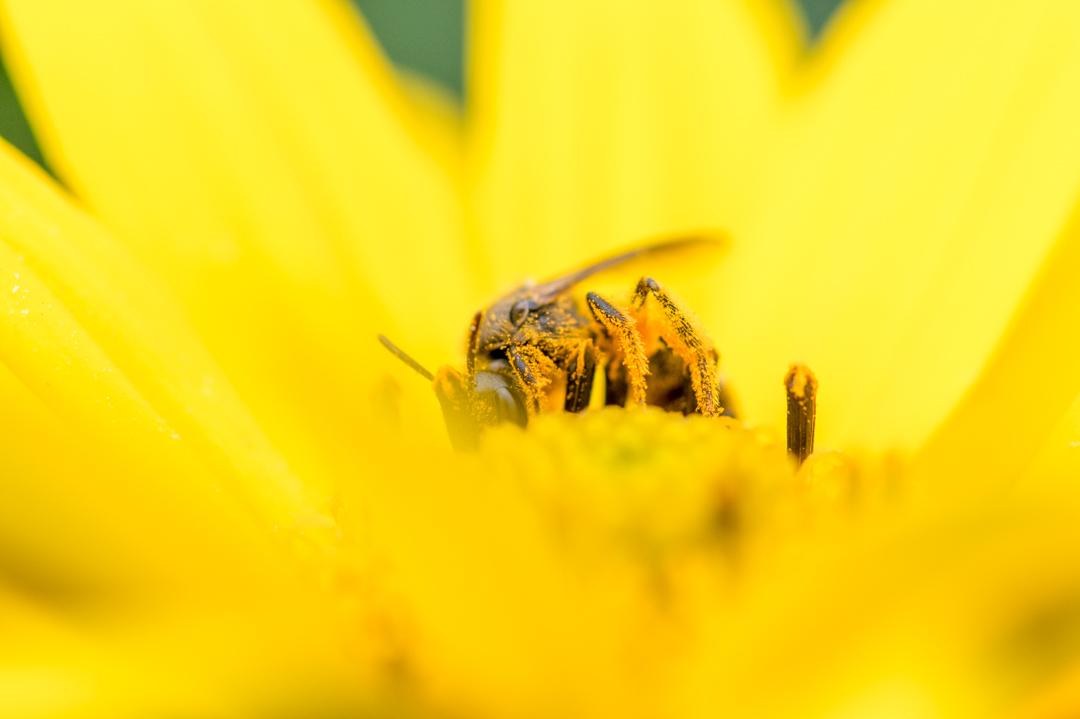 花粉にまみれるハチ