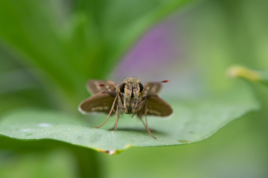茶色の羽に白い点の蛾(イチモンジセセリ)