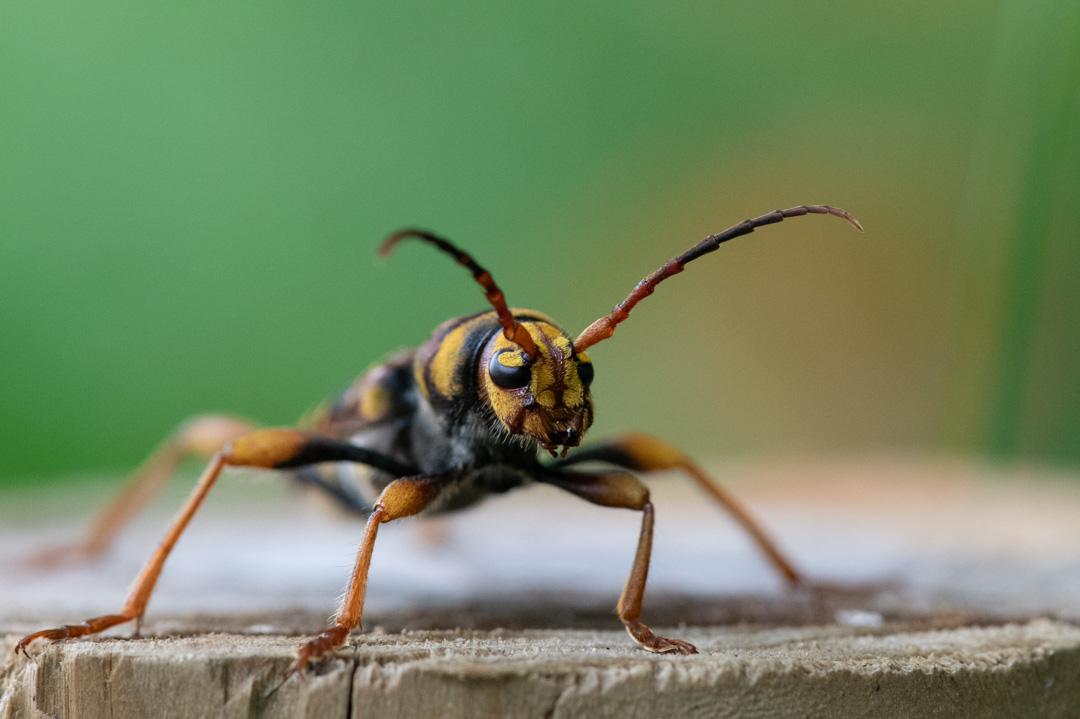ハチに擬態したカミキリムシ(トラフカミキリ)