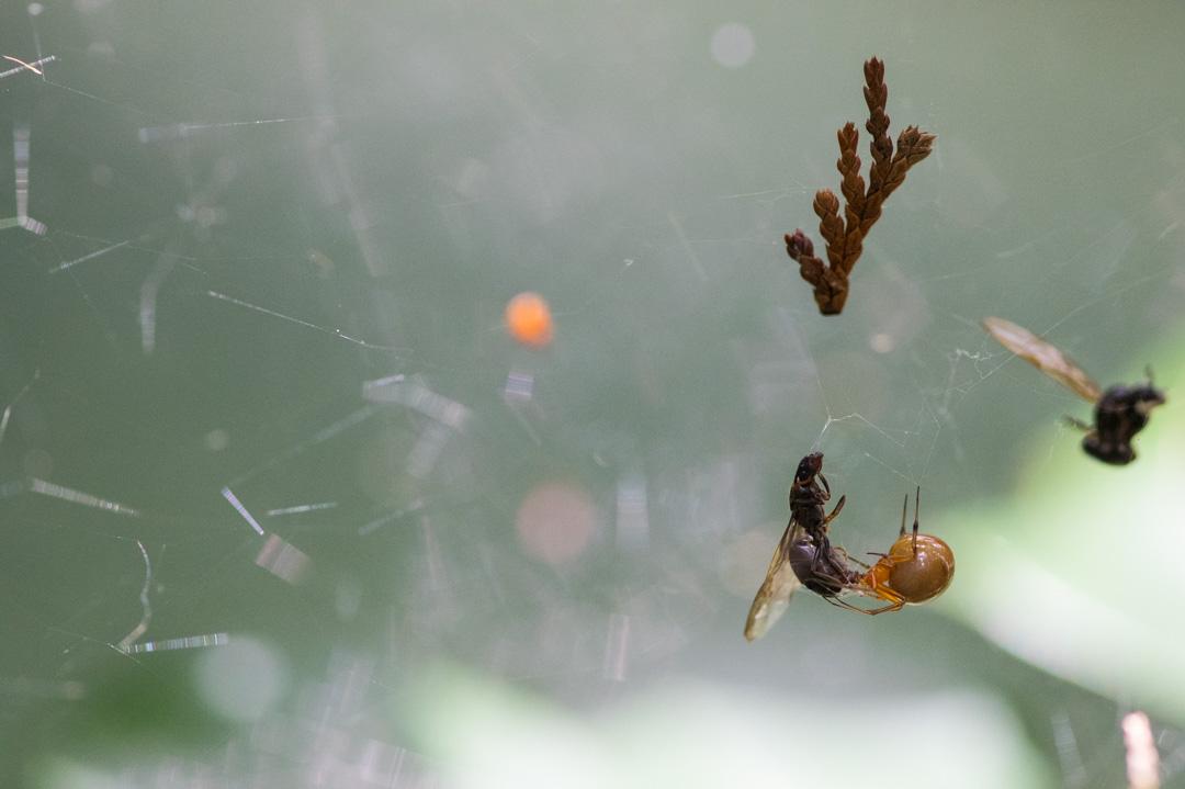 捕食中のシロスジショウジョウグモ