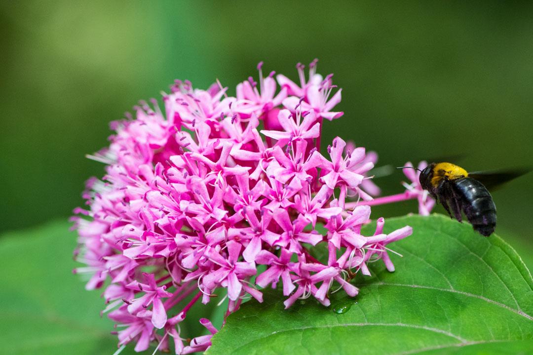 ピンクの花とクマバチ