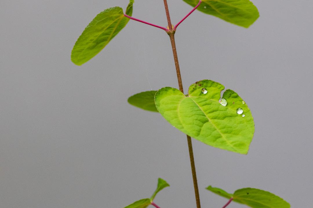 葉としずく