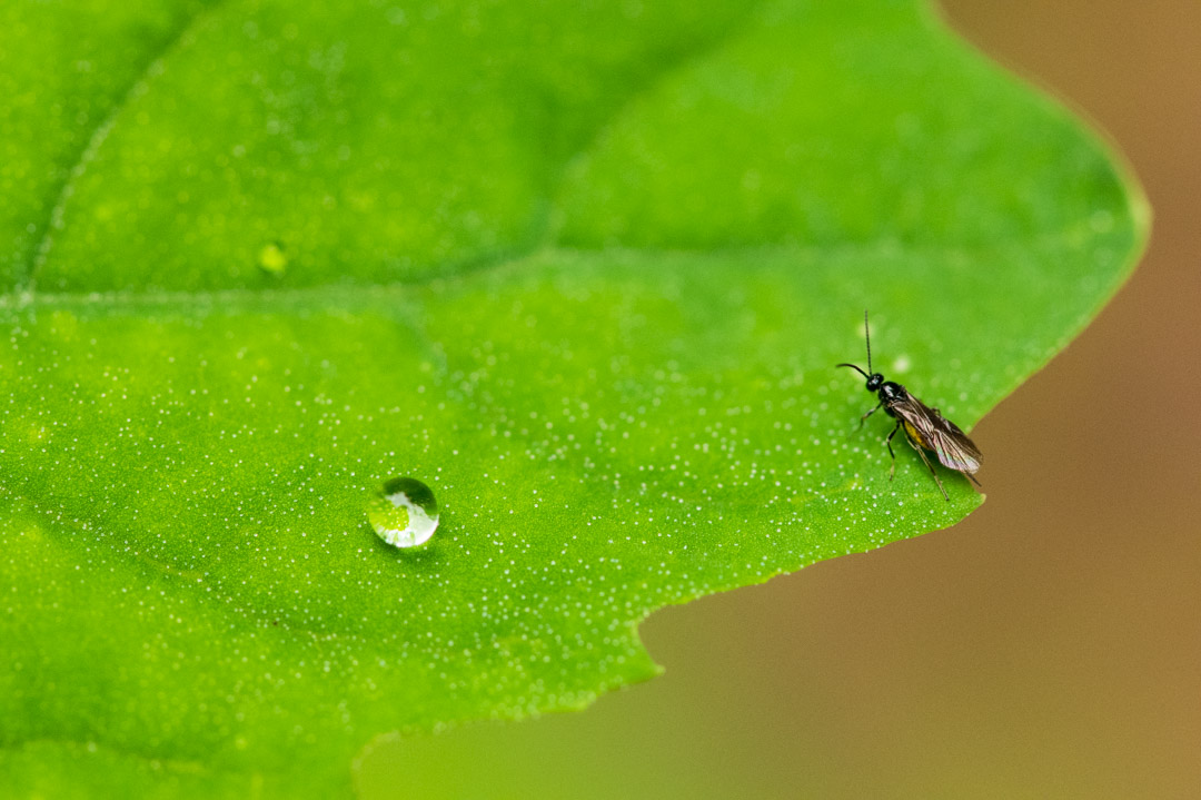 葉にとまる虫としずく