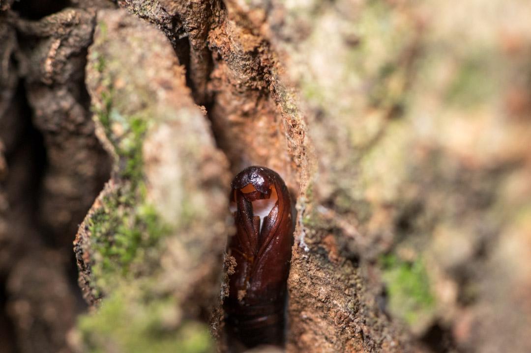 脱皮後の蛹
