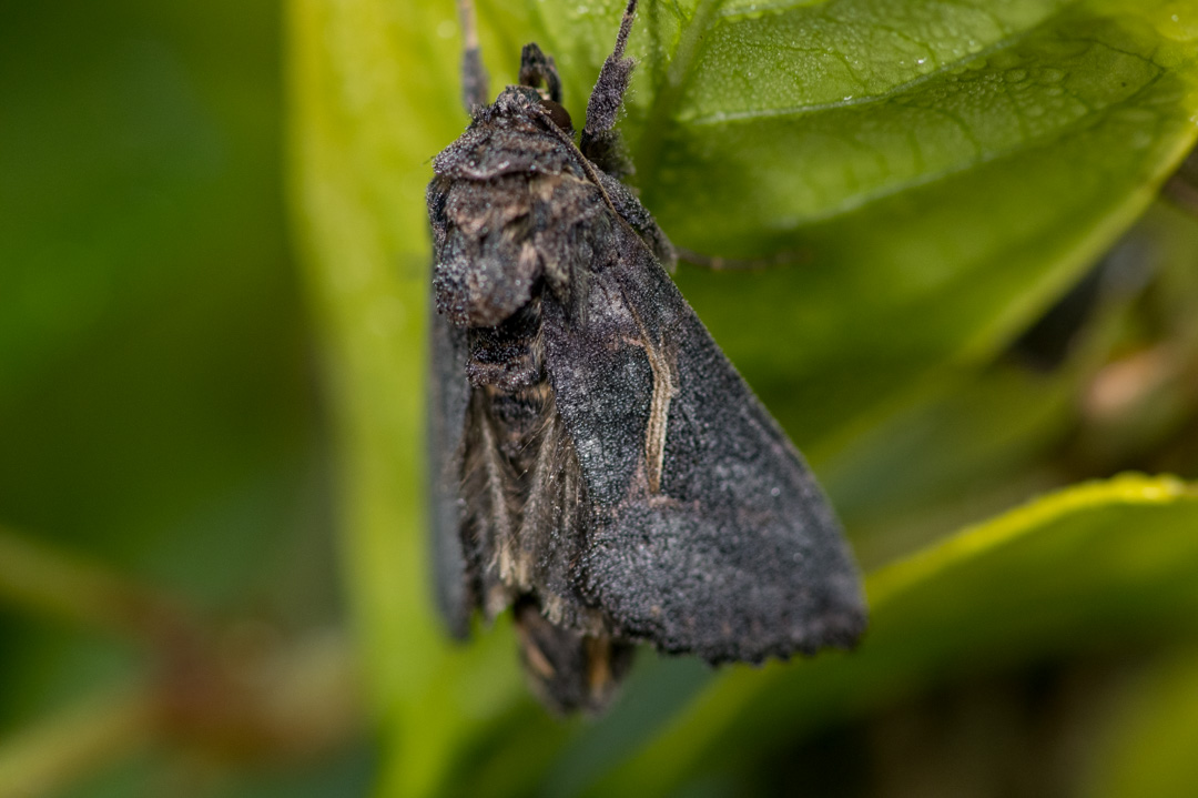 樹に擬態する蛾