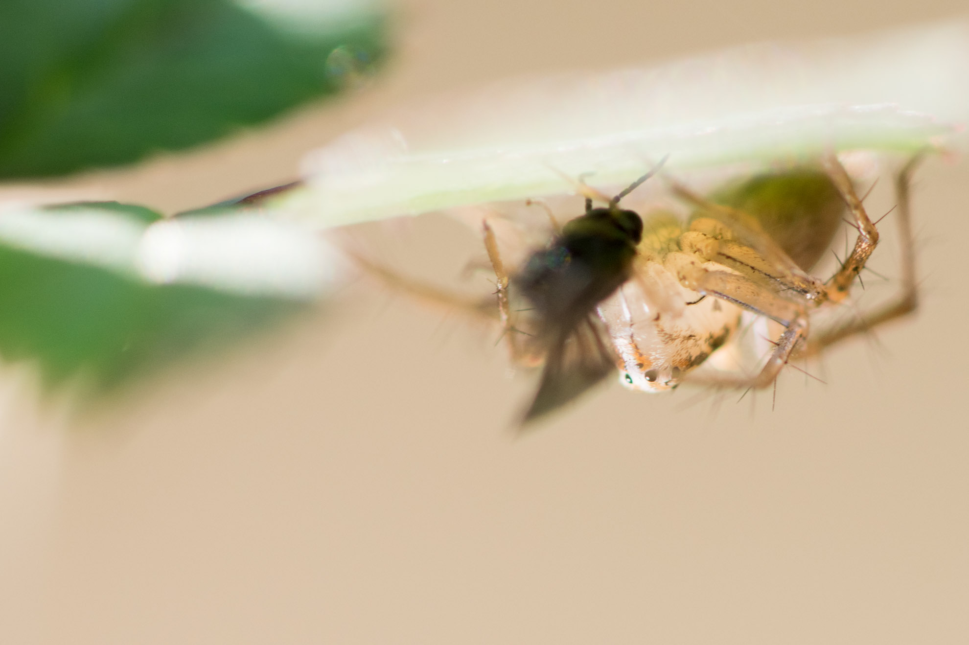 捕食中のササグモ