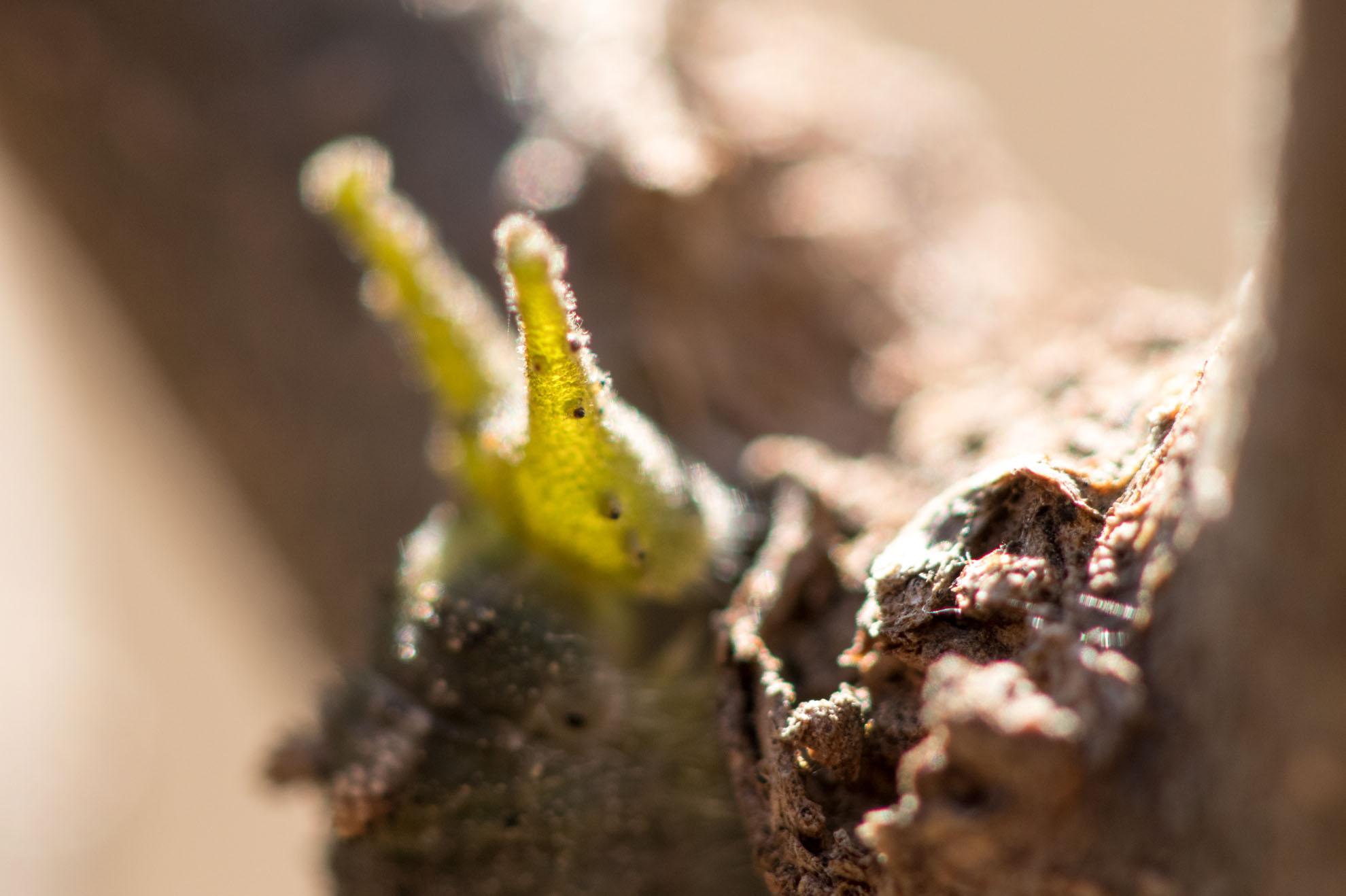 光を通すとキレイなアカボシゴマダラの幼虫