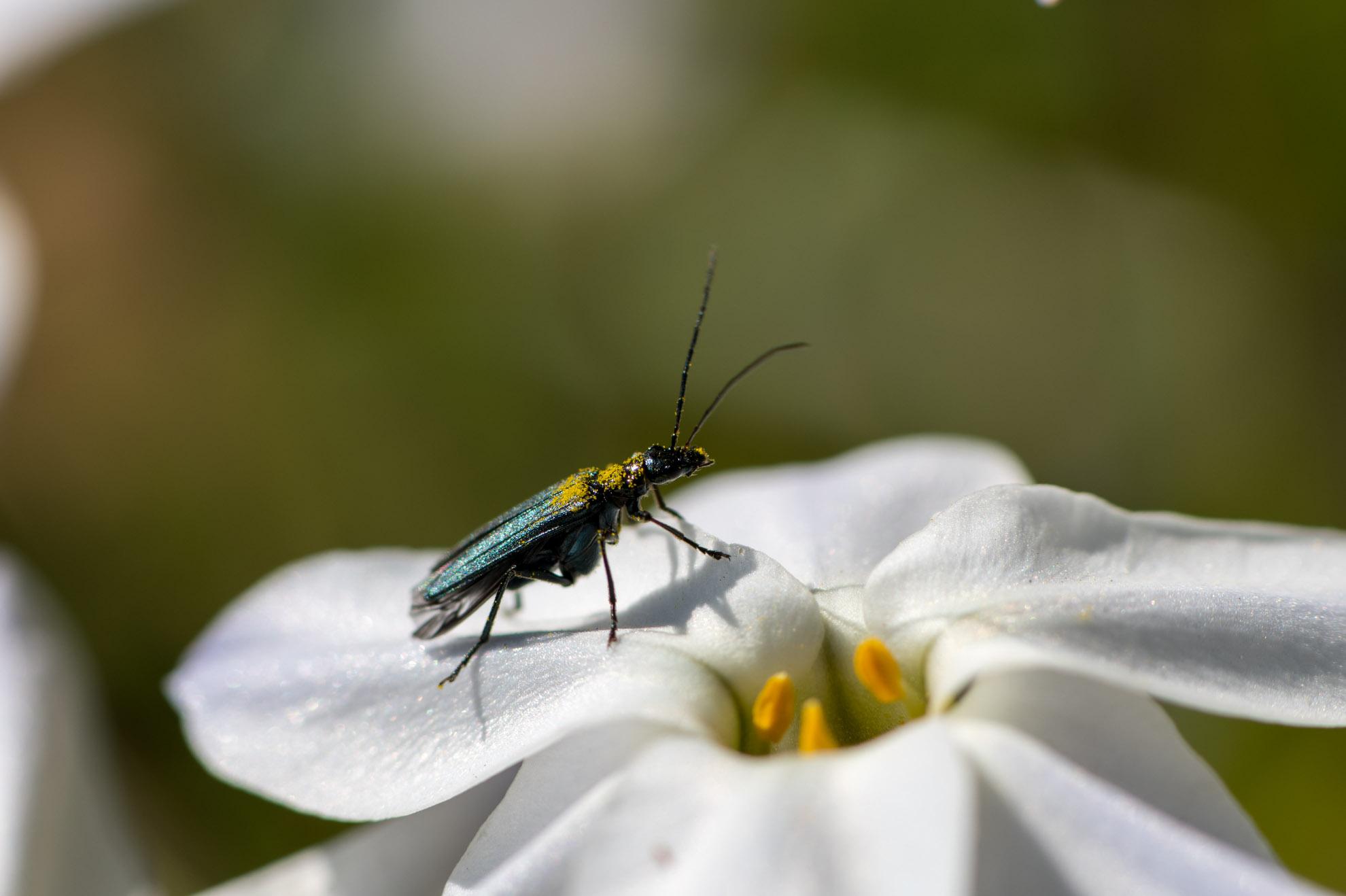 花粉をまとったモモブトカミキリモドキ