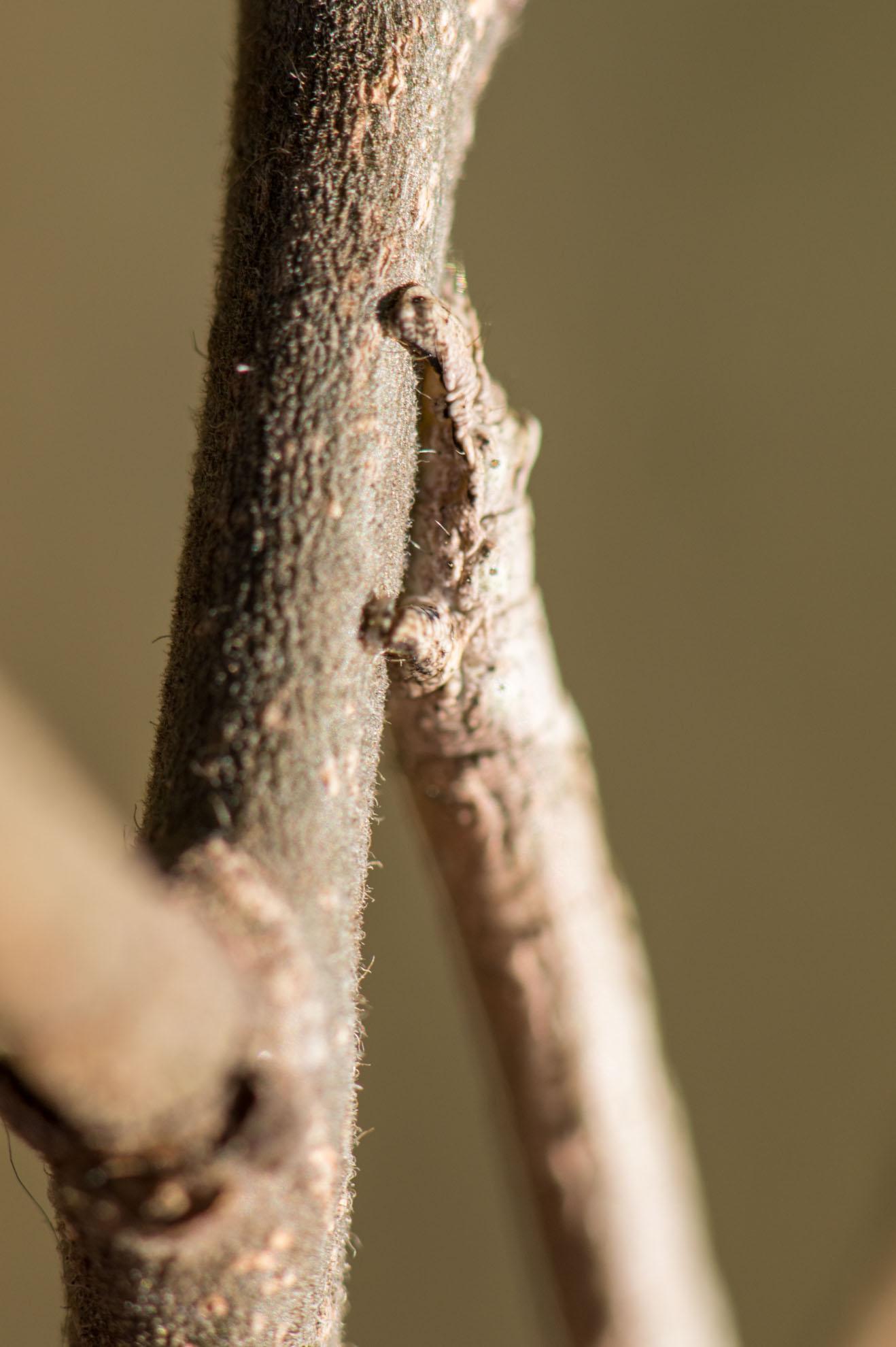 クワエダシャクの幼虫の脚