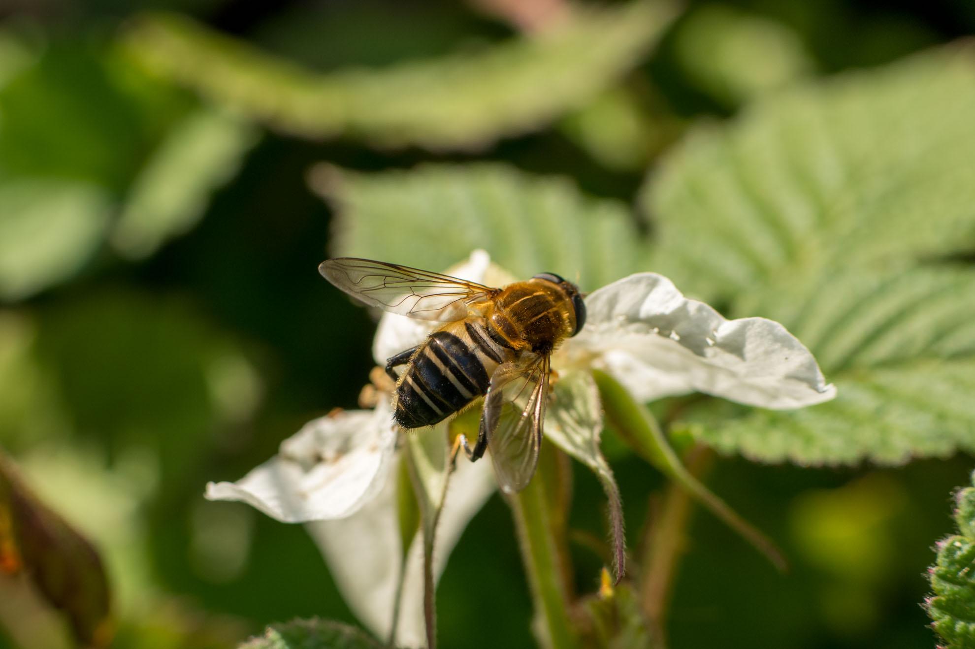 ハチのようなアブのようなアシブトハナアブ