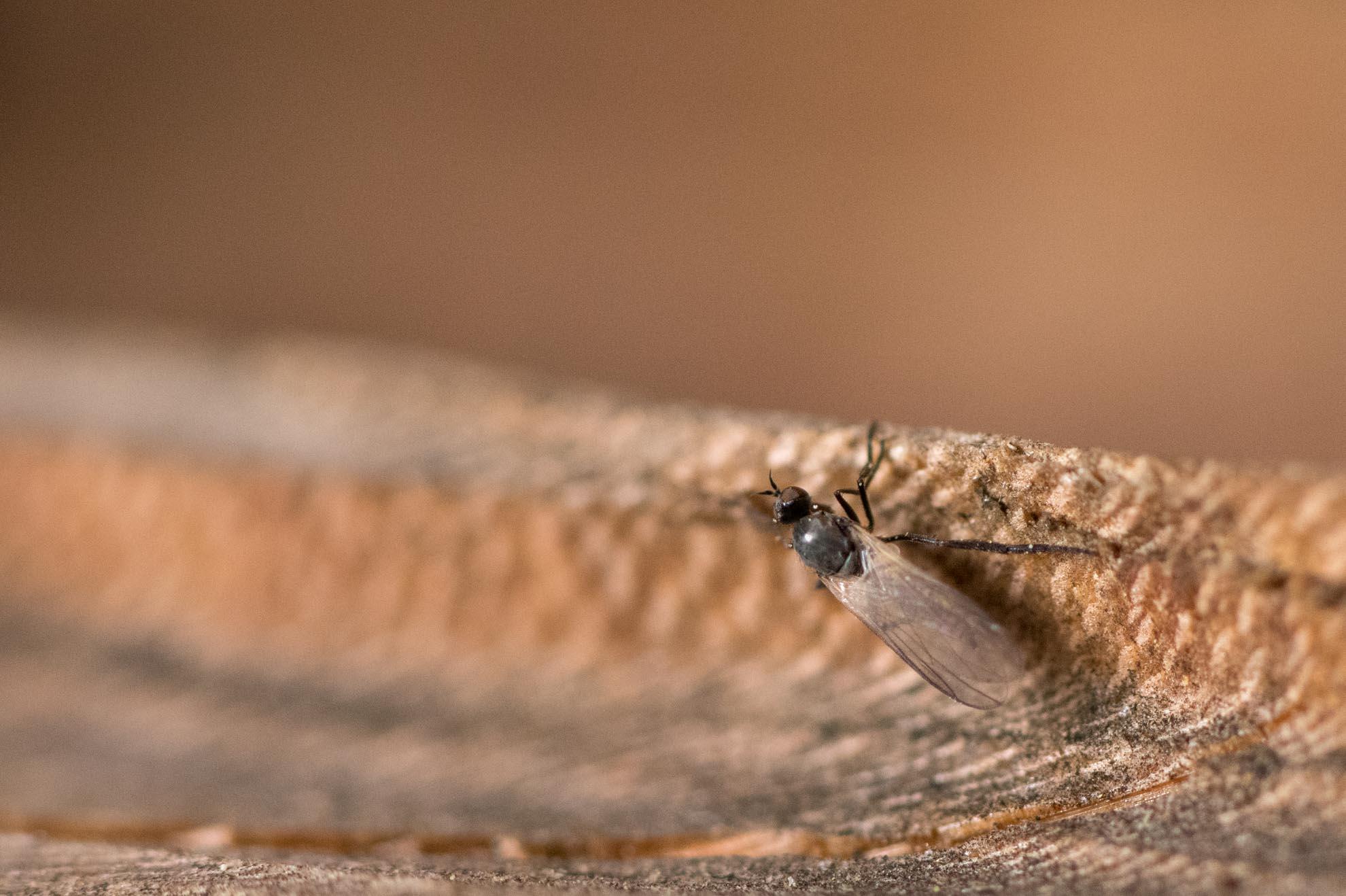 コバエのような小さな虫