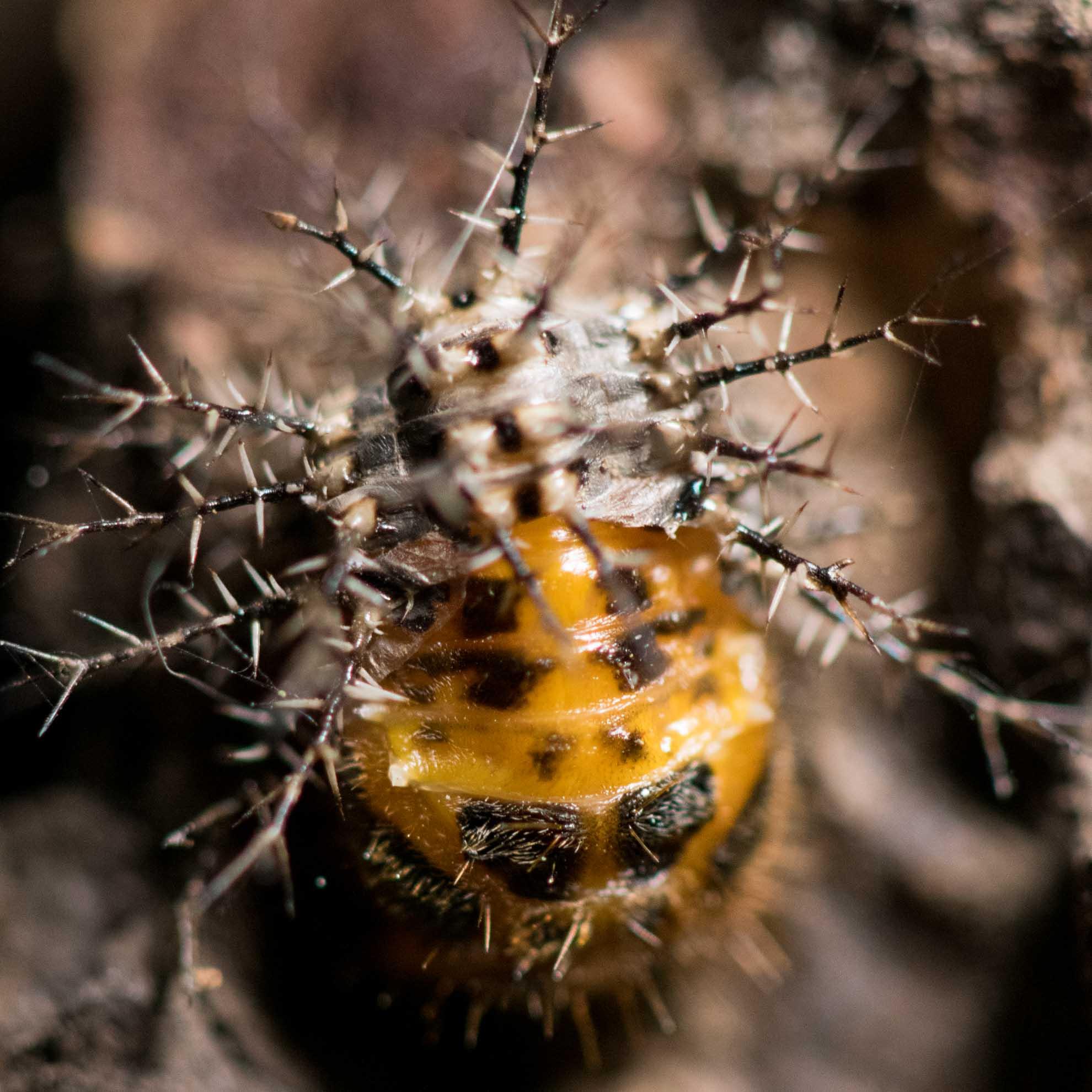 脱皮途中のてんとう虫