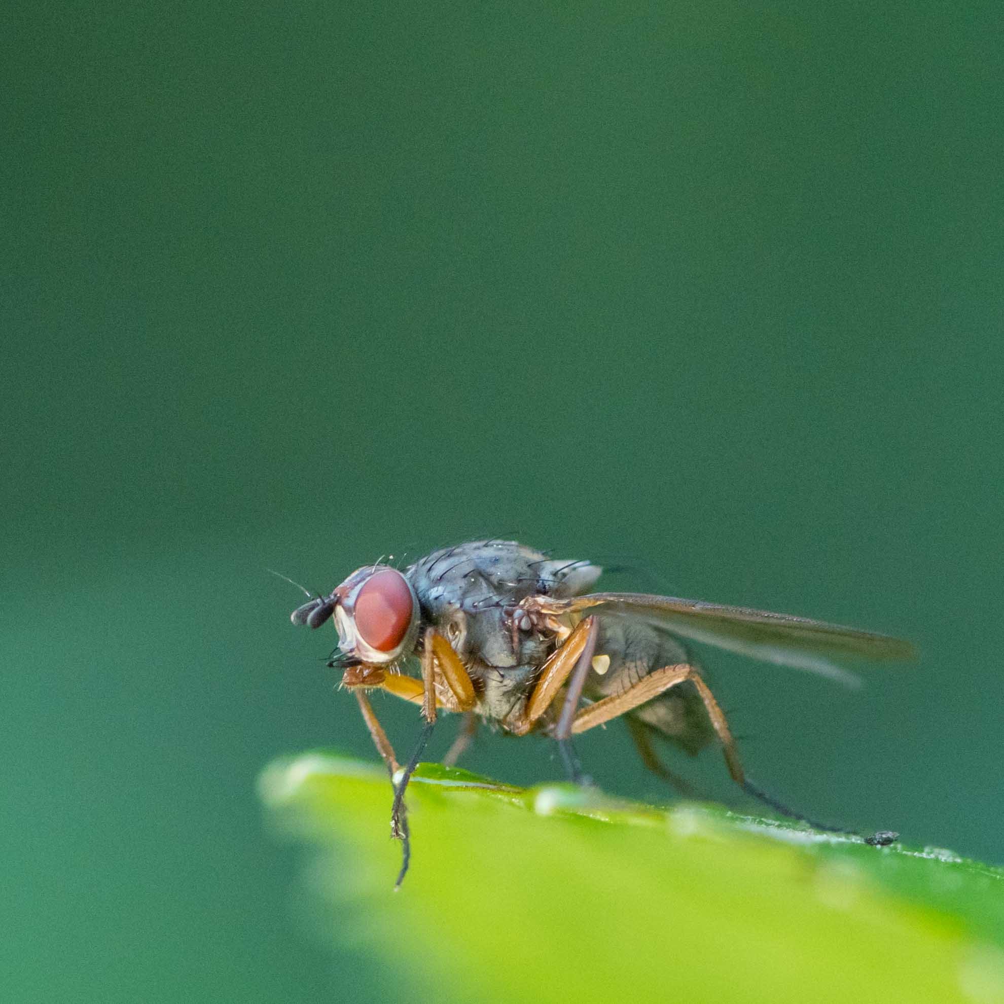 ハエのマクロ撮影