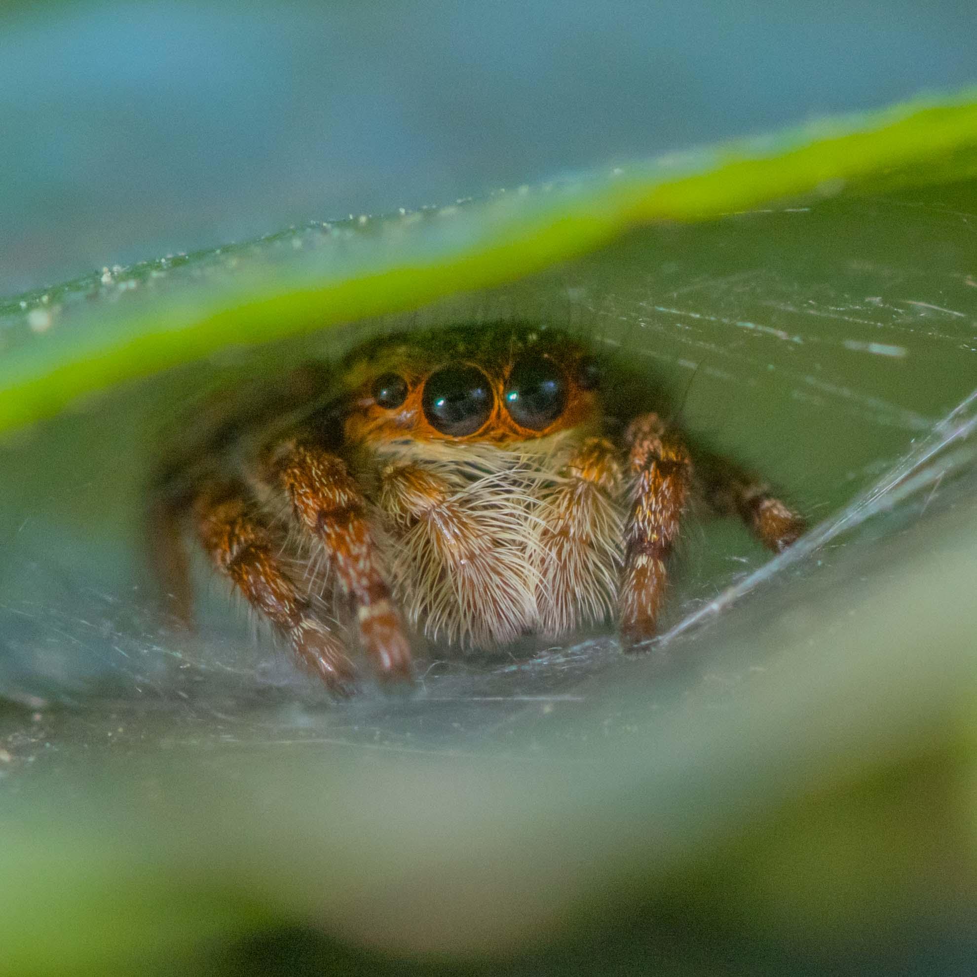 撮影中、葉の中に隠れるハエトリグモ