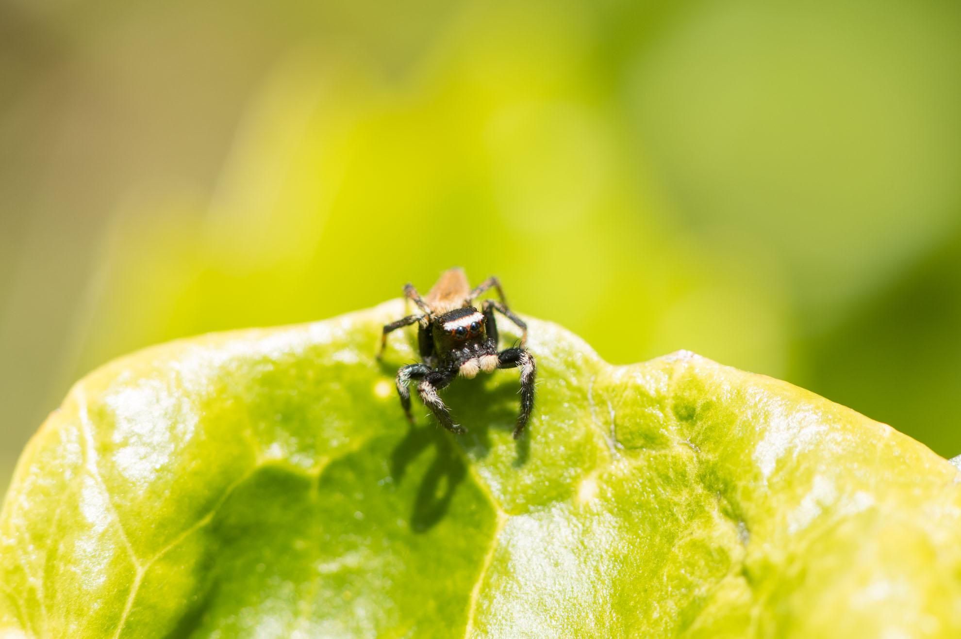 かわいいハエトリグモのマミジロハエトリ