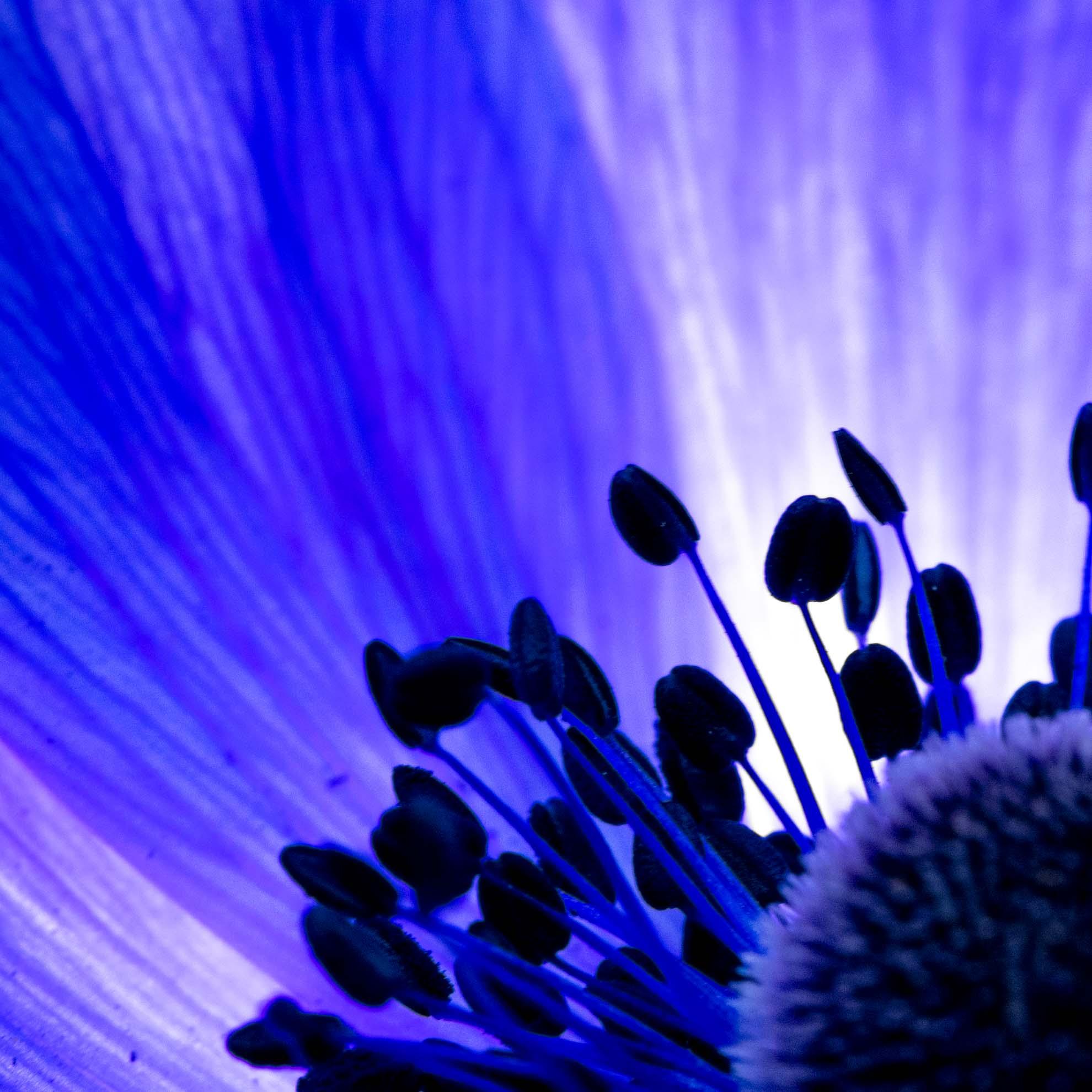 紫色でキレイなアネモネ