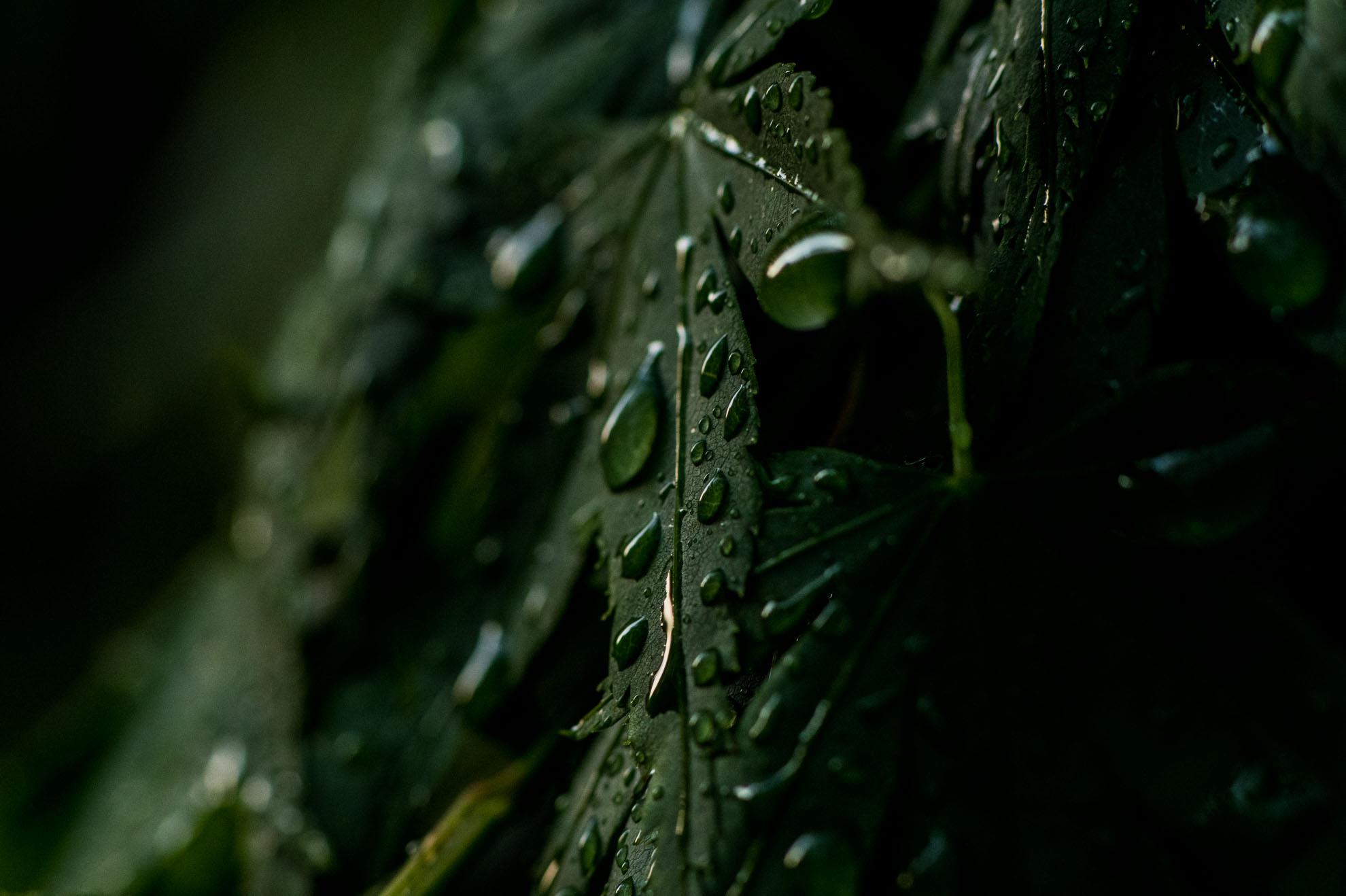 朝露を纏った葉