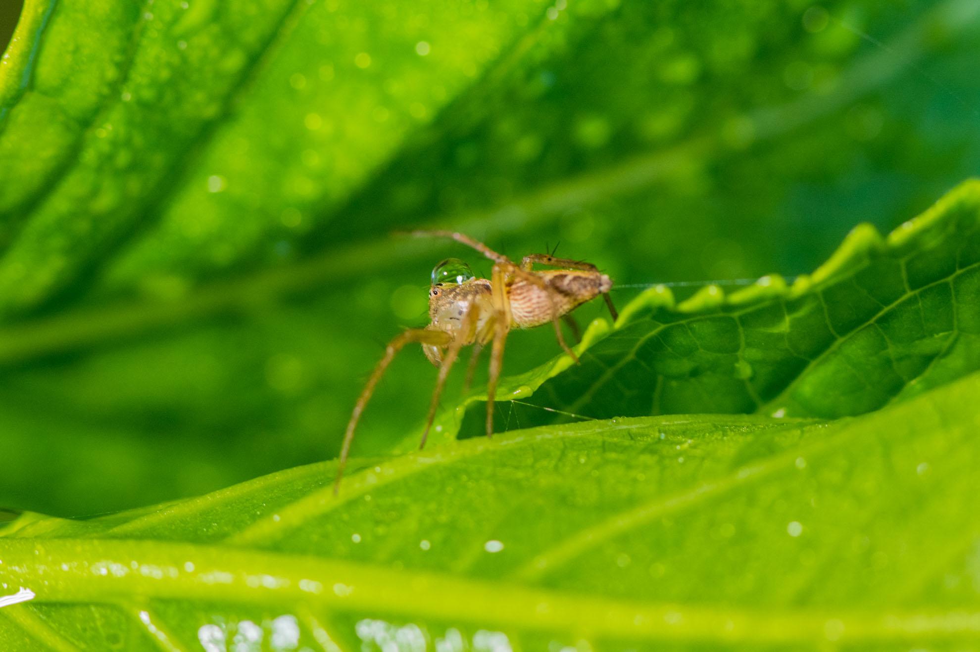 頭に滴を溜めるササグモ