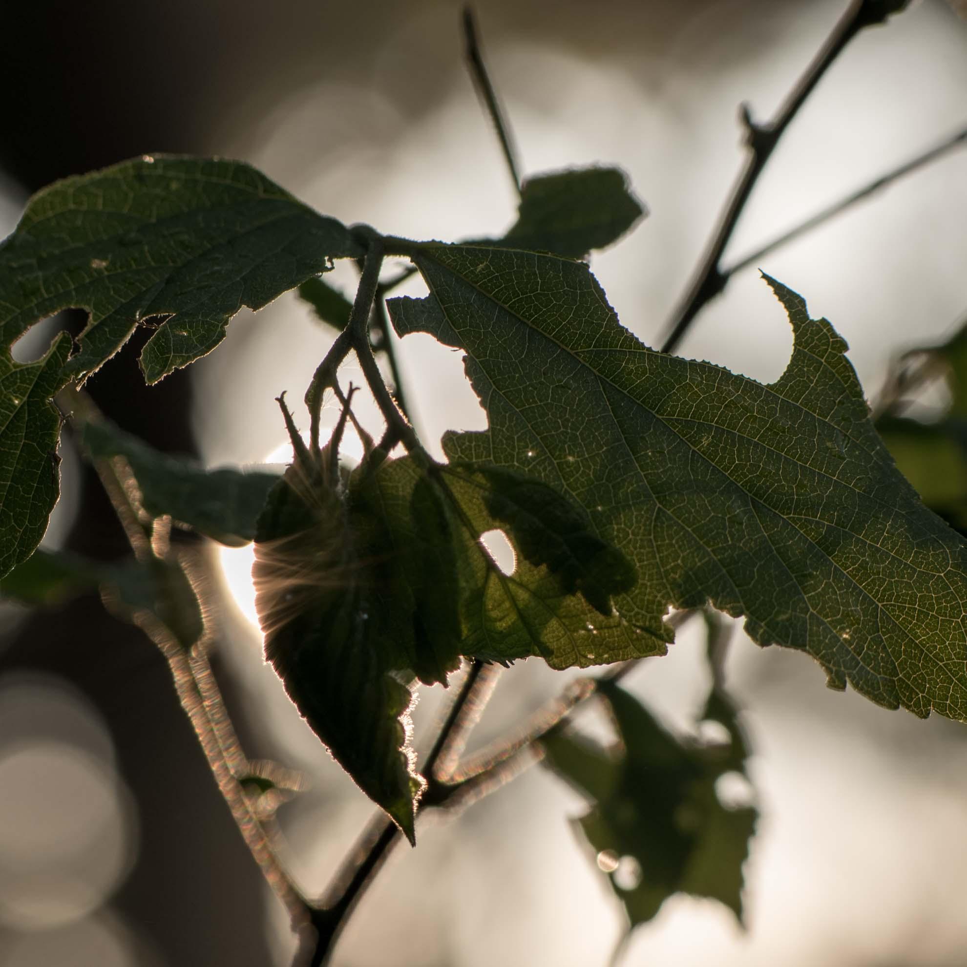 朝日を浴びるアカボシゴマダラの幼虫