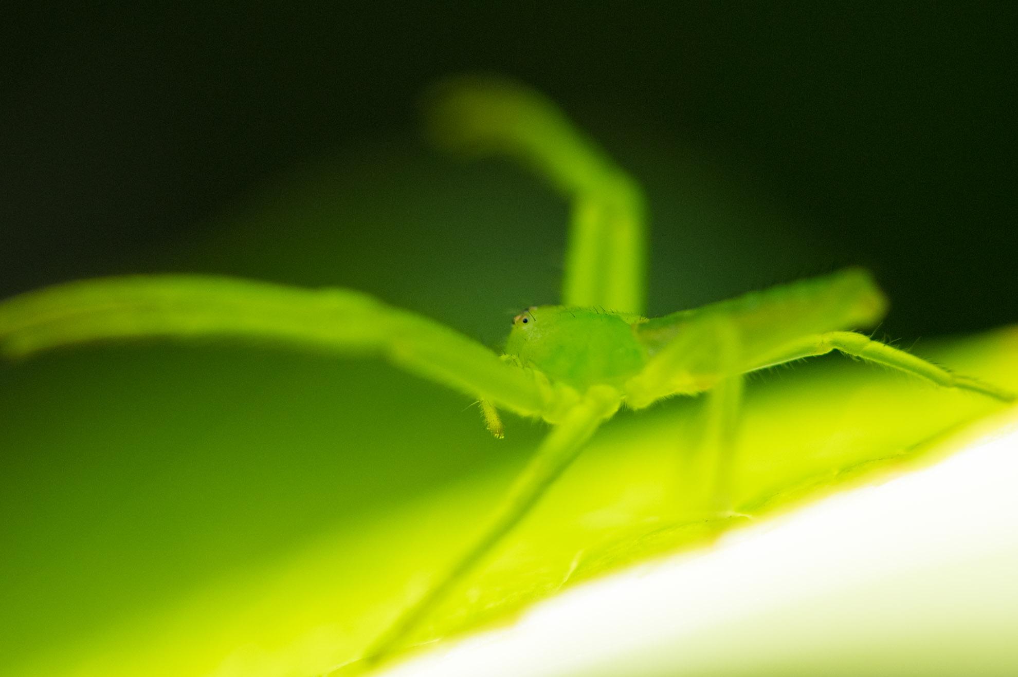 緑色で透ける蜘蛛ことササグモ