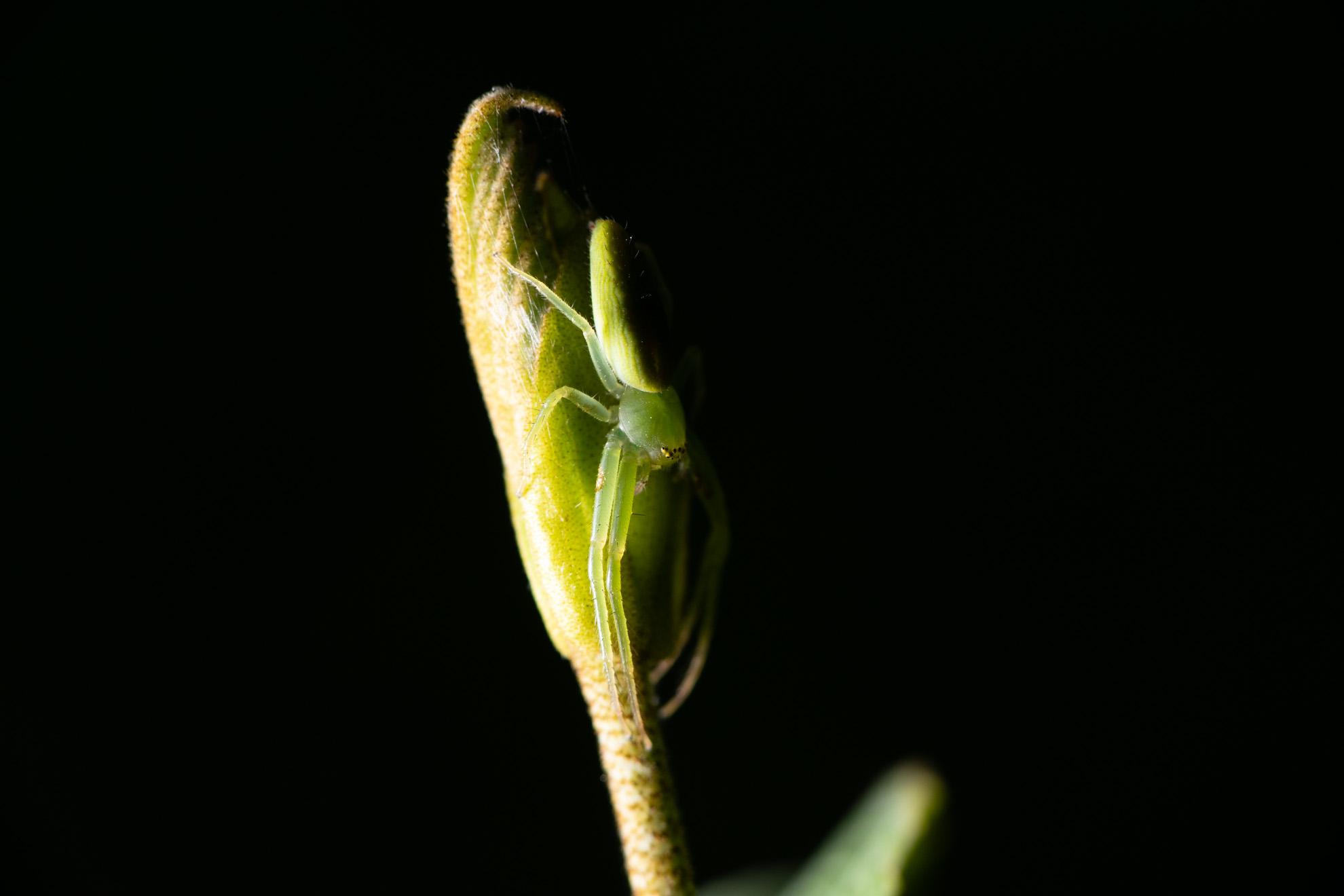 緑色で透き通るササグモ
