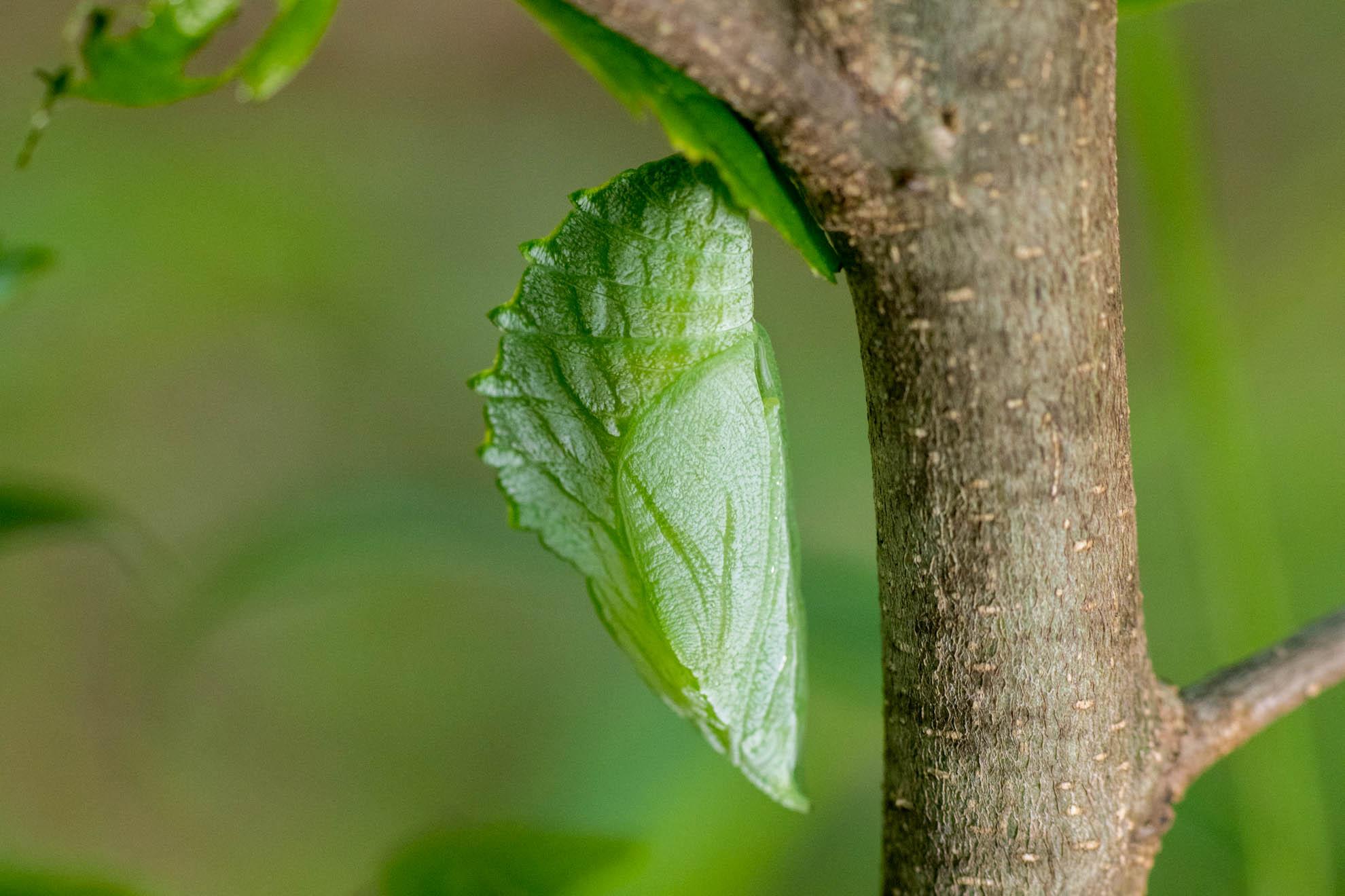 アカボシゴマダラの蛹