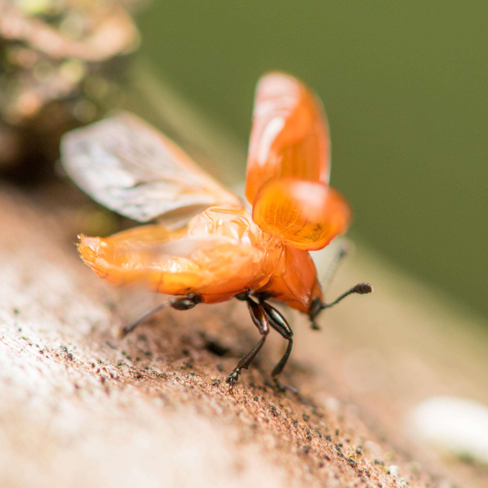 ウリハムシの飛行する瞬間