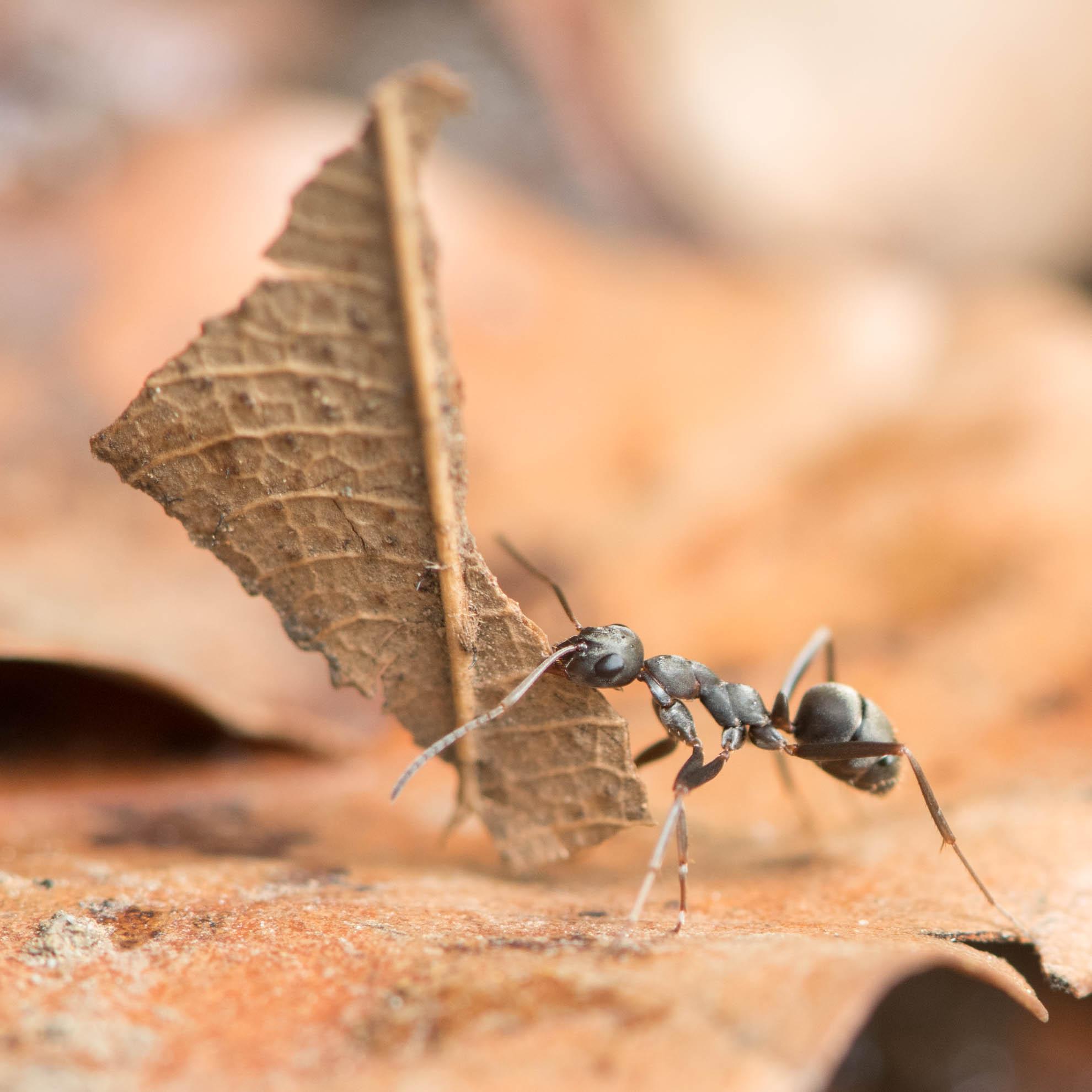 蟻が枯れ葉を運ぶ姿