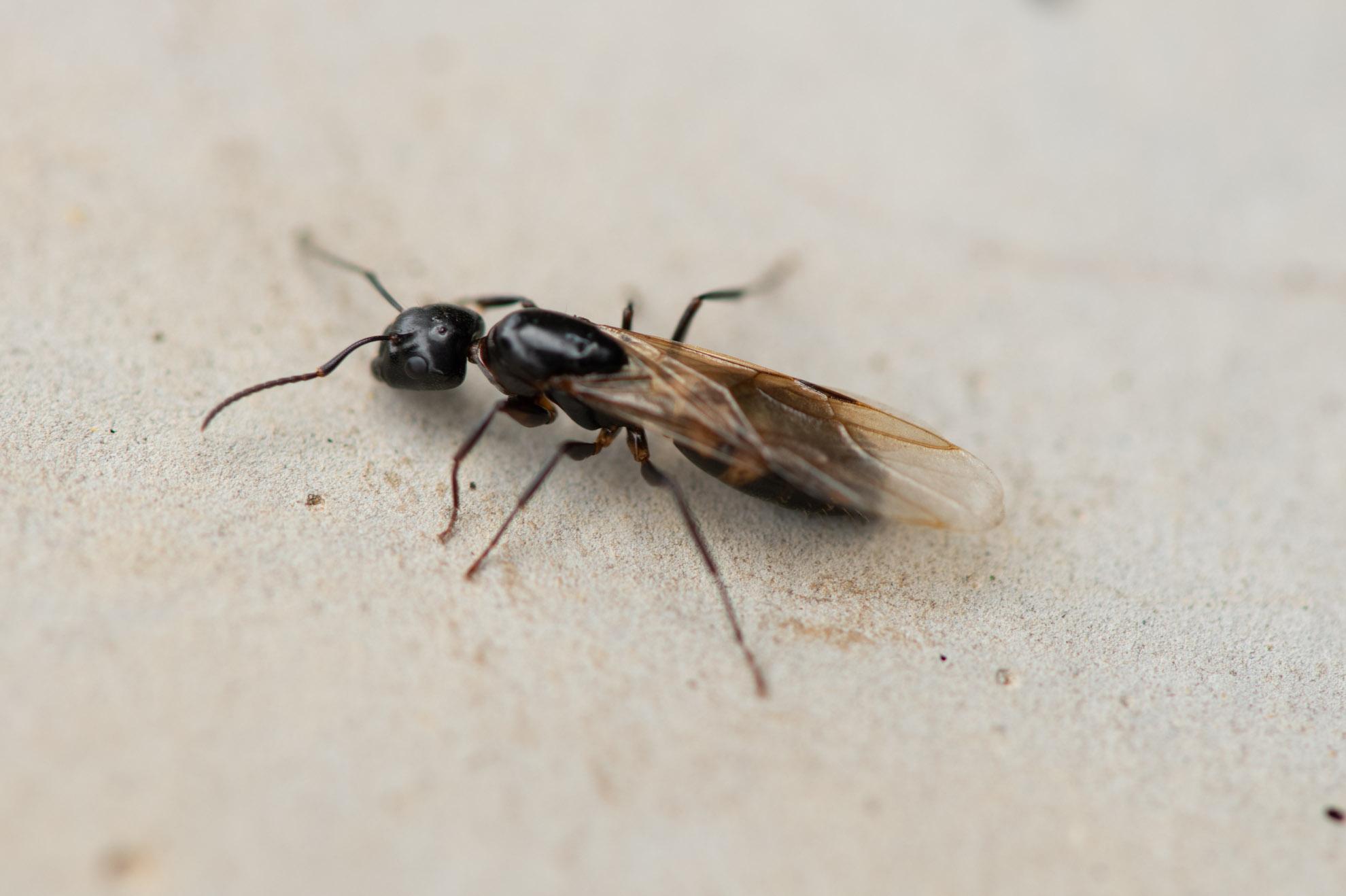羽のついた蟻