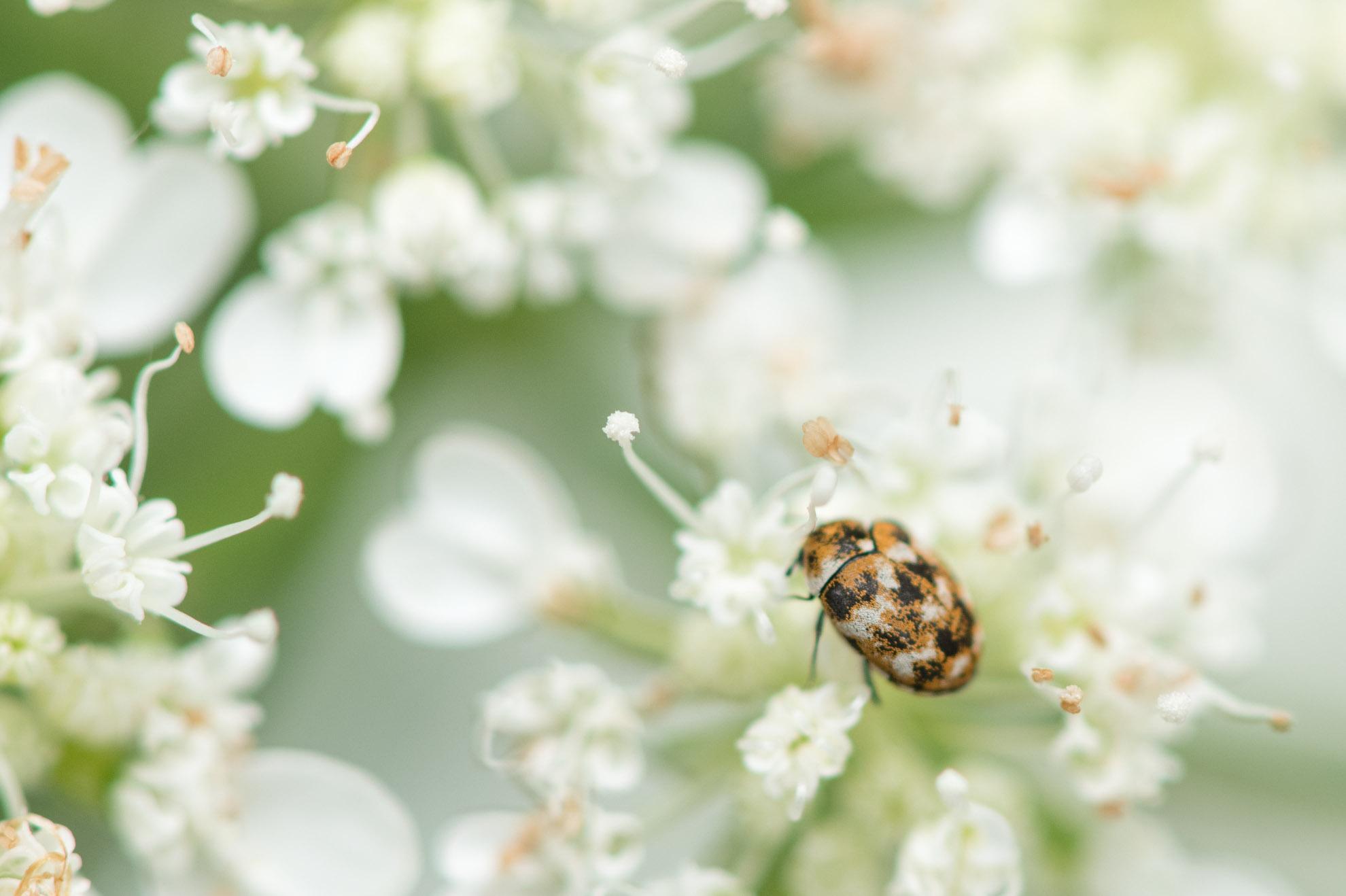 白・黒・茶で小さな虫のヒメマルカツオブシムシ