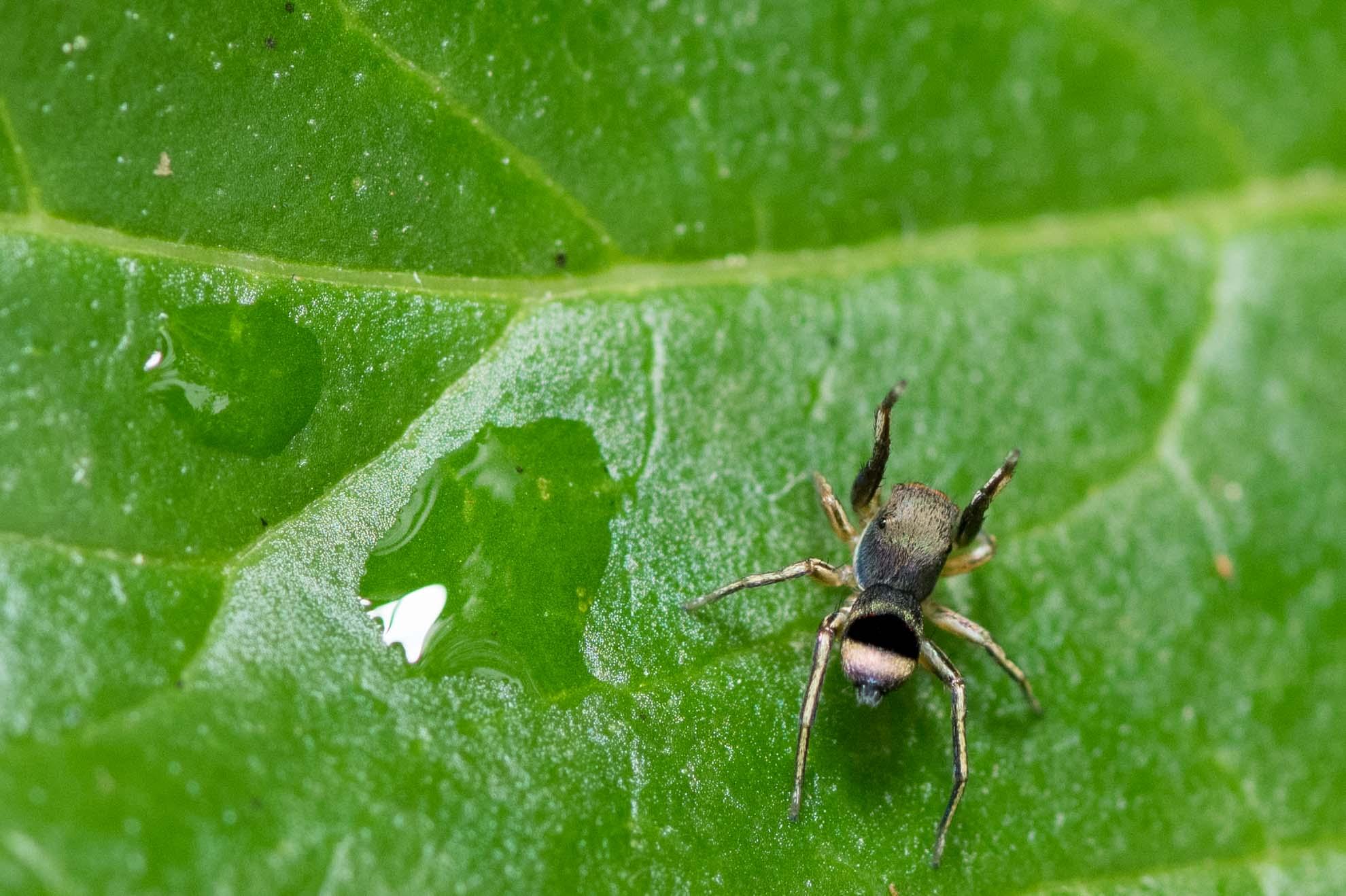 アオオビハエトリグモ