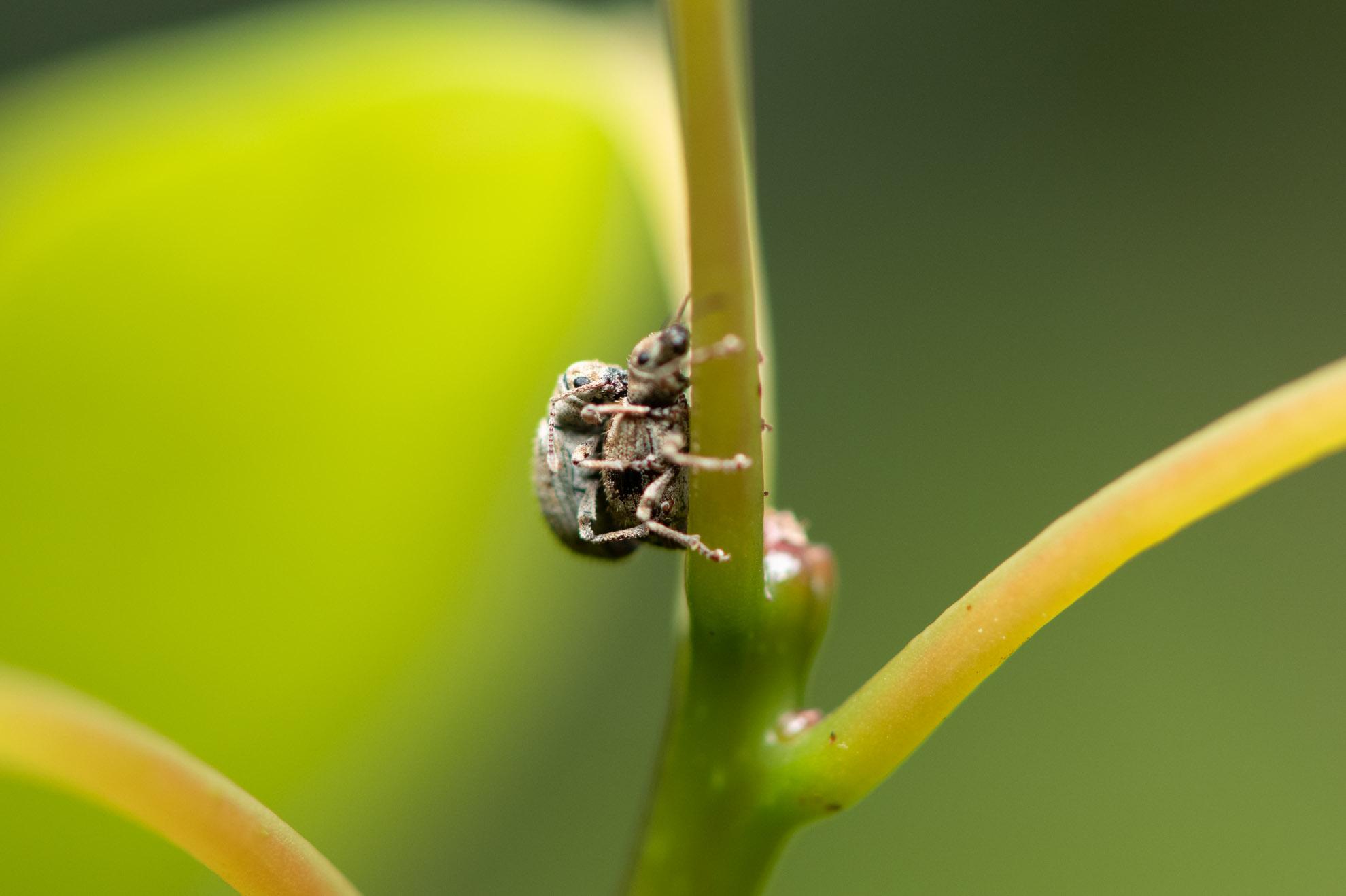 交尾中のヒョウタンゾウムシ