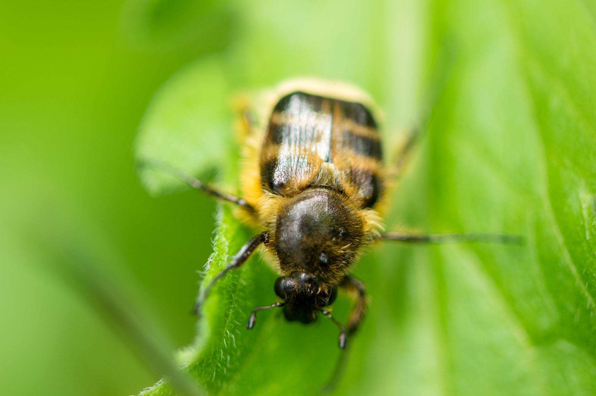 ハチのようなハナムグリのような甲虫のヒメトラハナムグリ