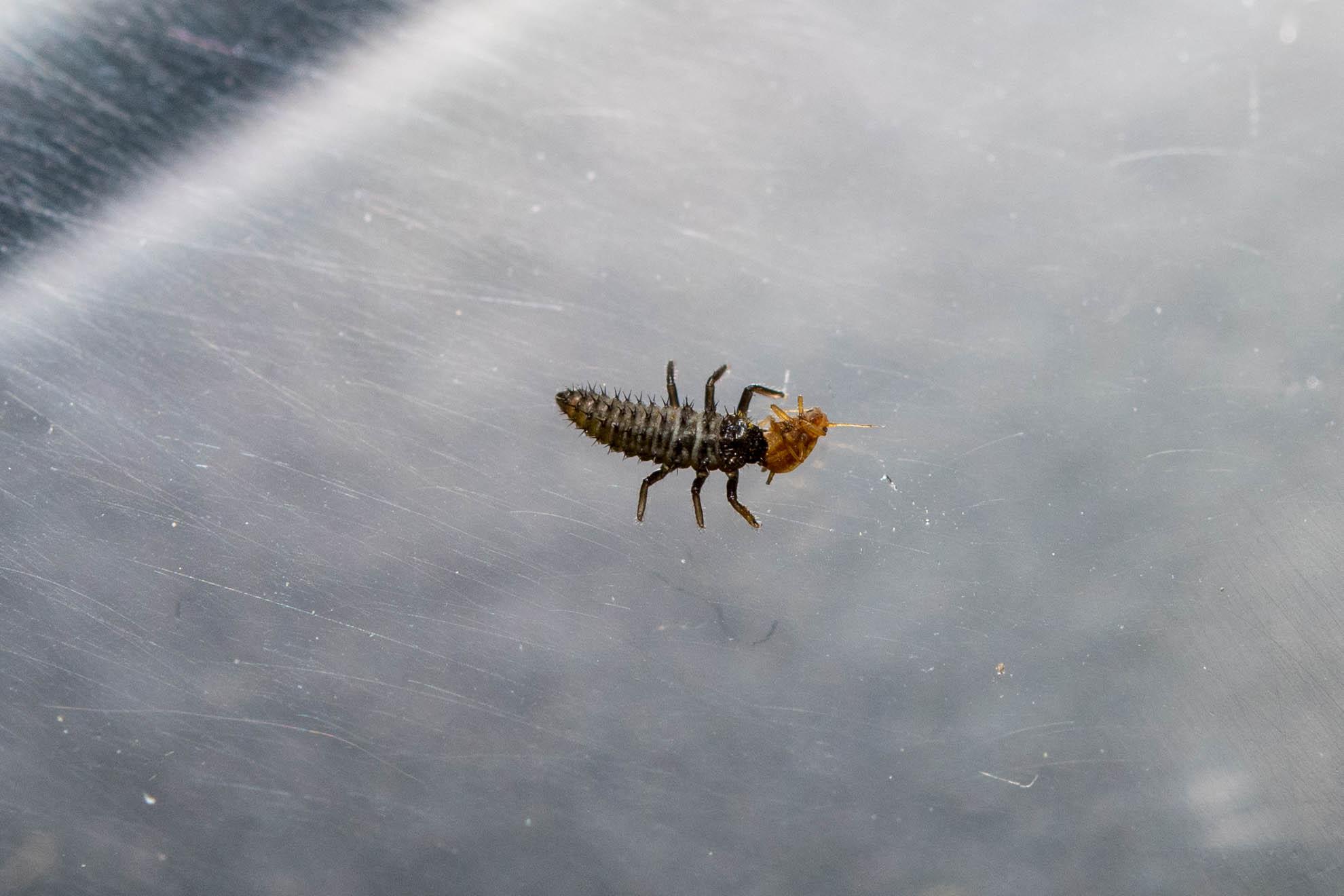 ナミテントウの1齢幼虫がアブラムシを捕食