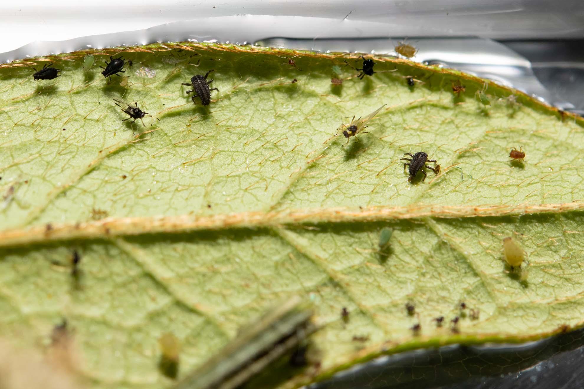 葉の裏を活発に動き回るナミテントウの1齢幼虫