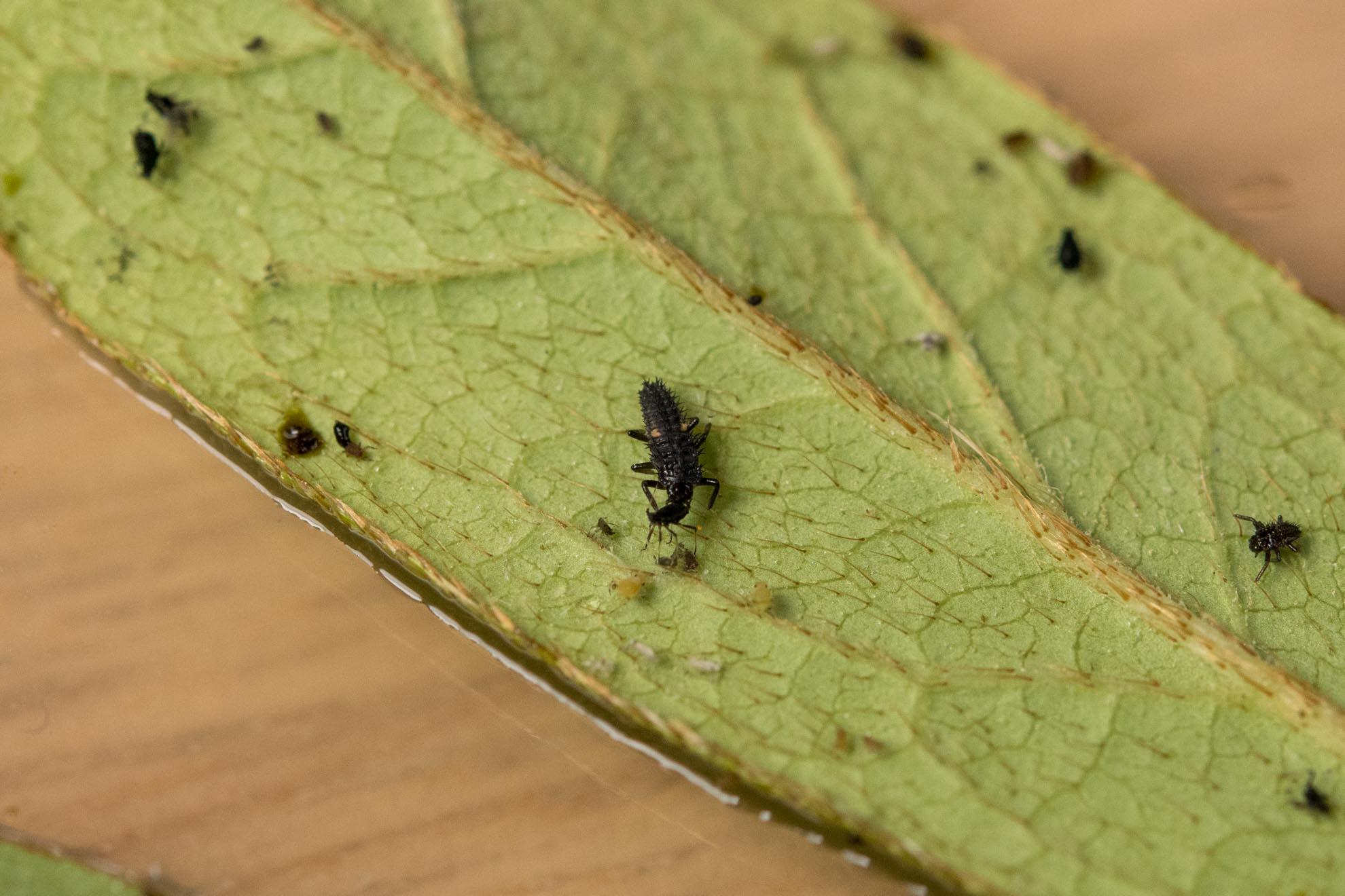 アブラムシを捕食中のナミテントウの幼虫