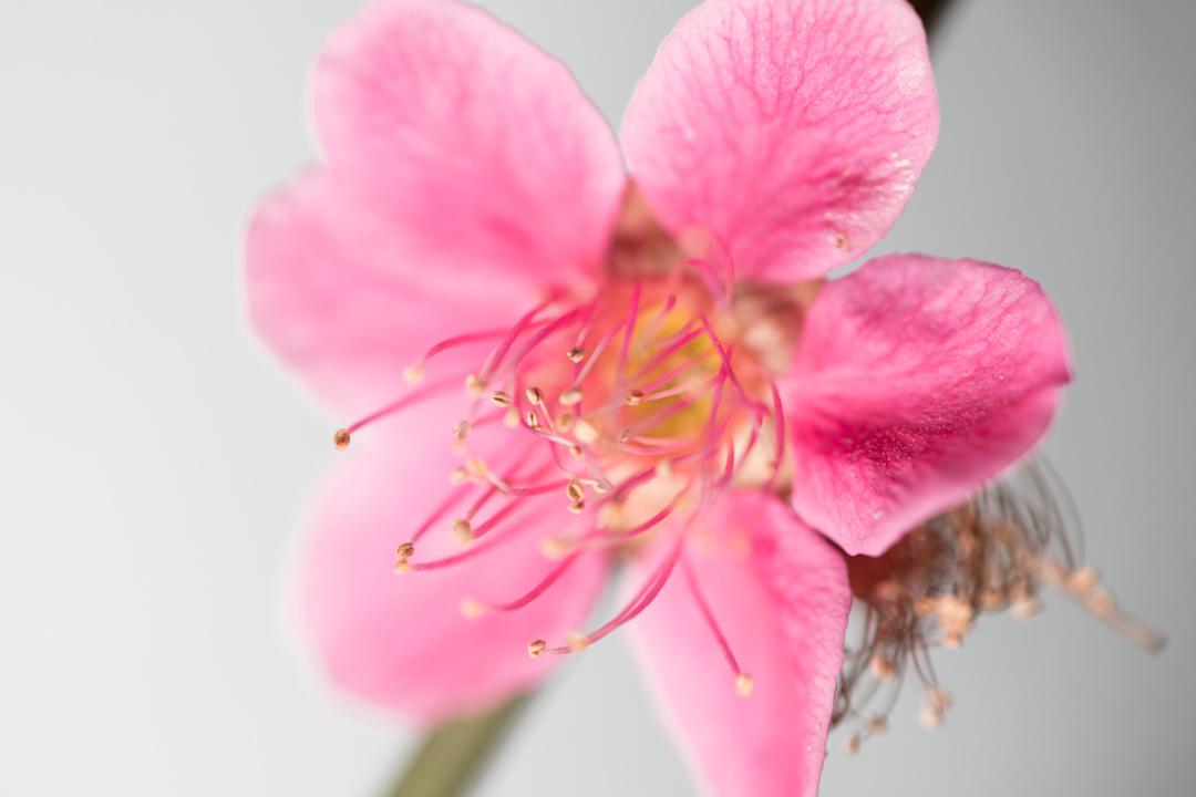 ピンク色の梅